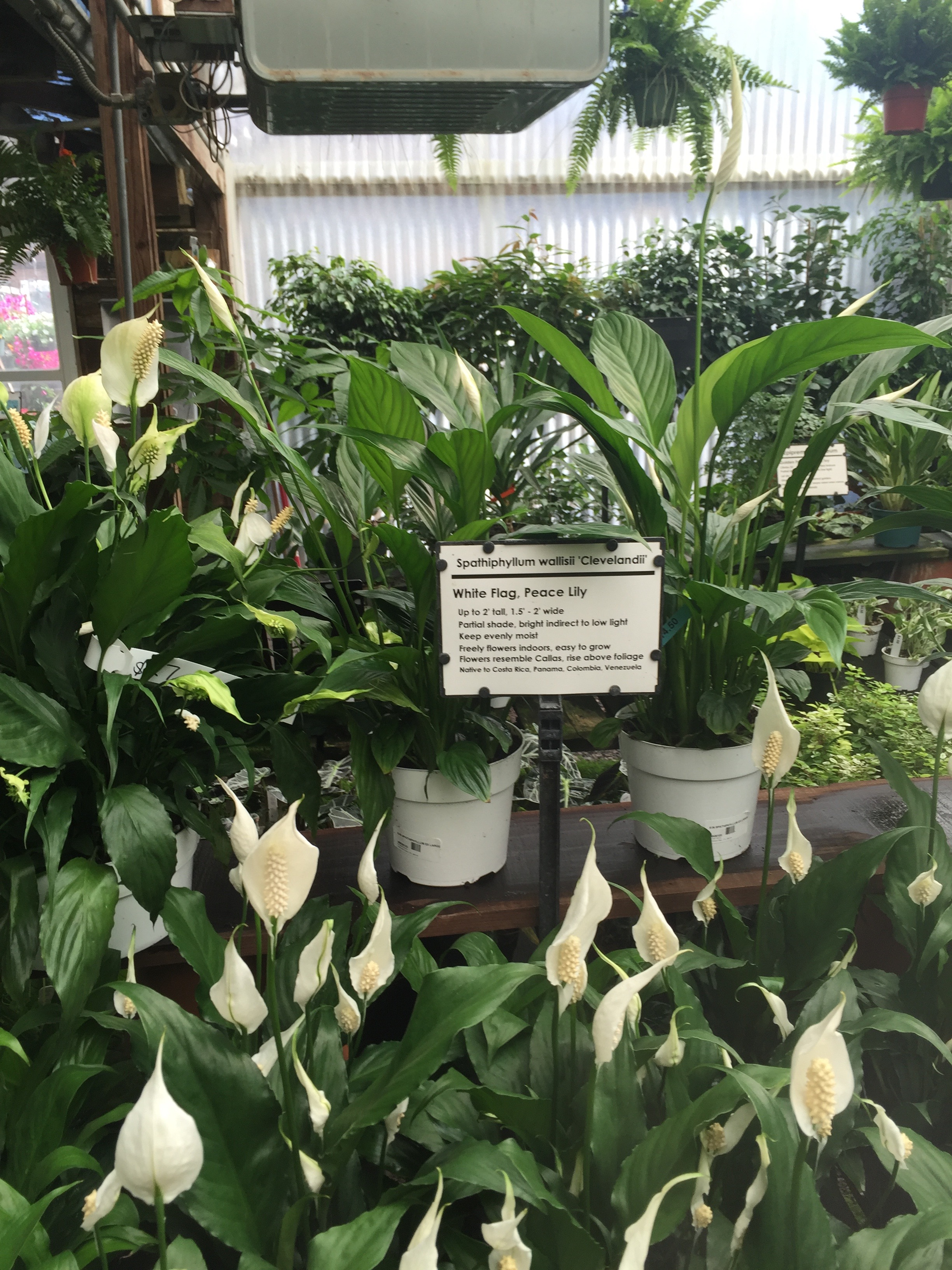 Peace Lilies are super easy to care for and purify the air as well!
