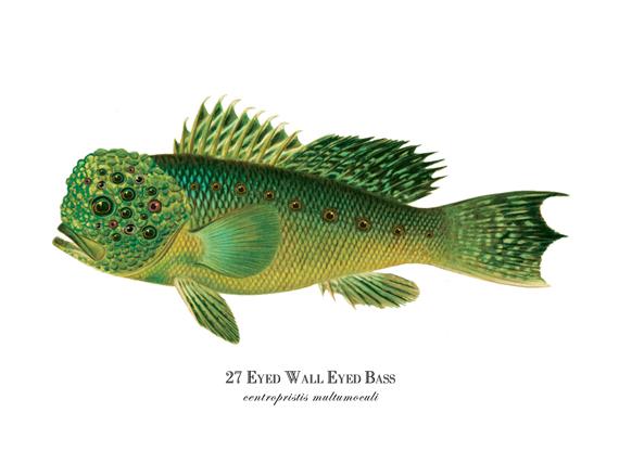 """27 Eyed Wall Eyed Bass"""