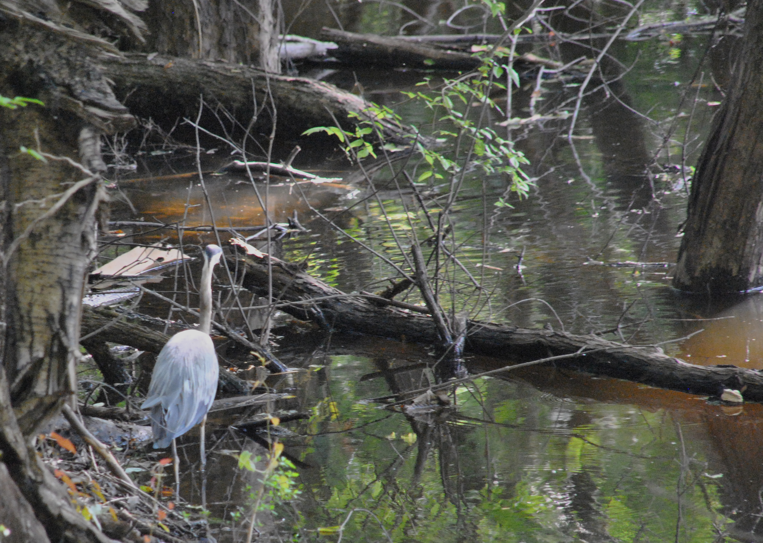 """We"" interviewed this blue heron, asking her about the upcoming Senate race between Thad Cochran and Chris McDaniel"