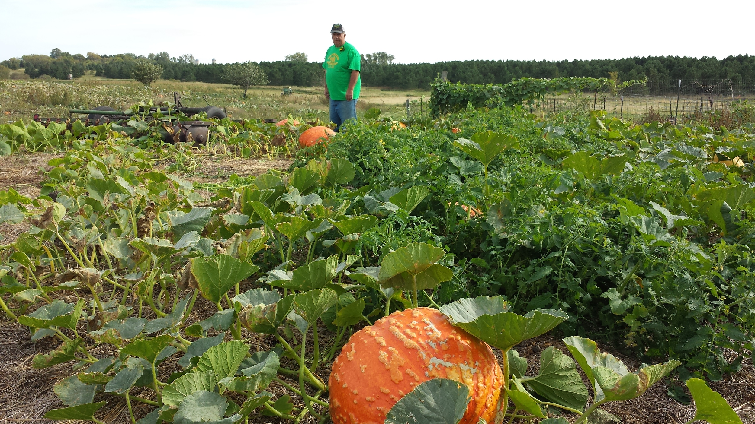 Dave inspects the pumpkins, ready for visitors to pick!