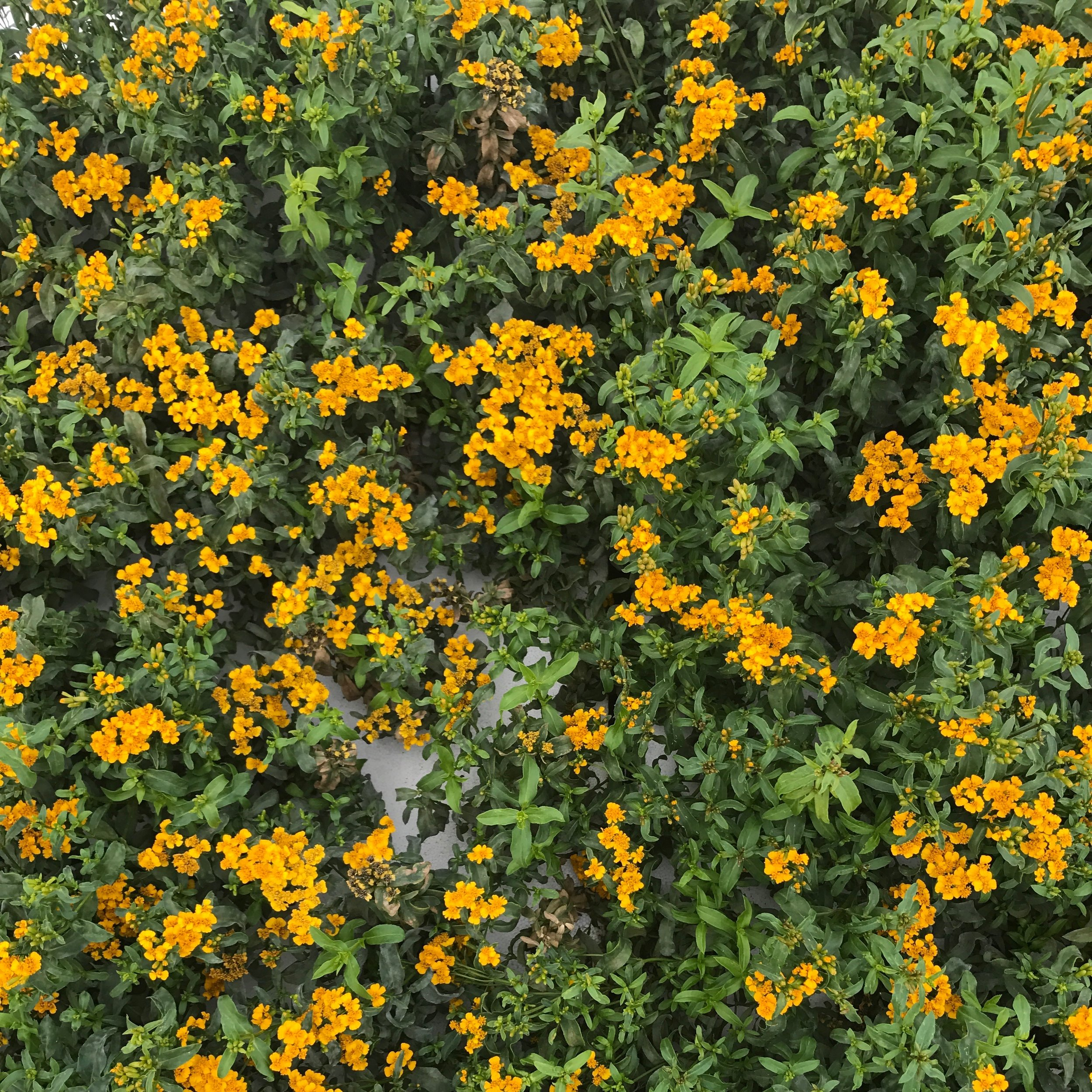 Mexican Marigold Mint - A versatile herb that produces amazing yellow flowers