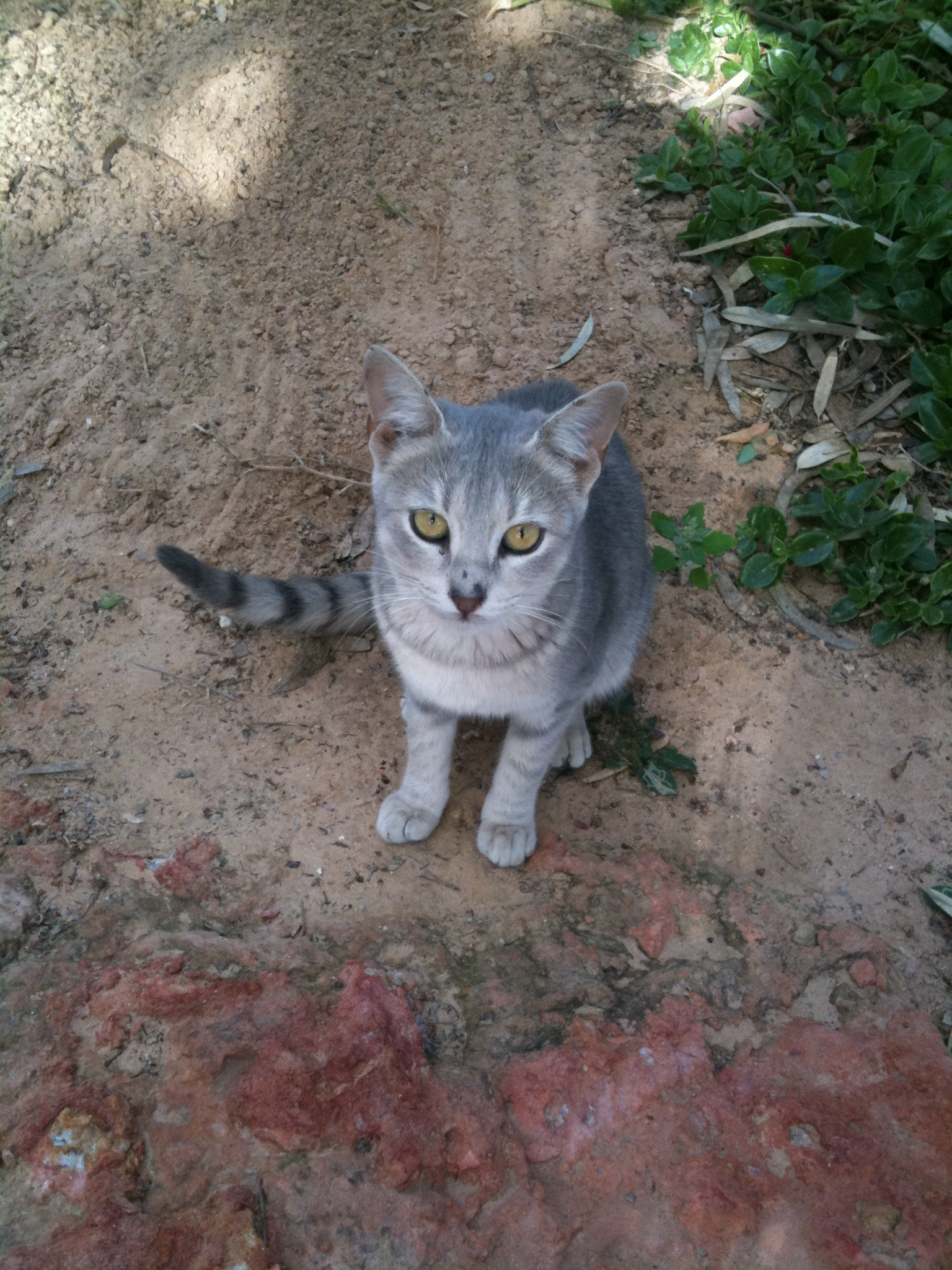 Grey cat Djerba