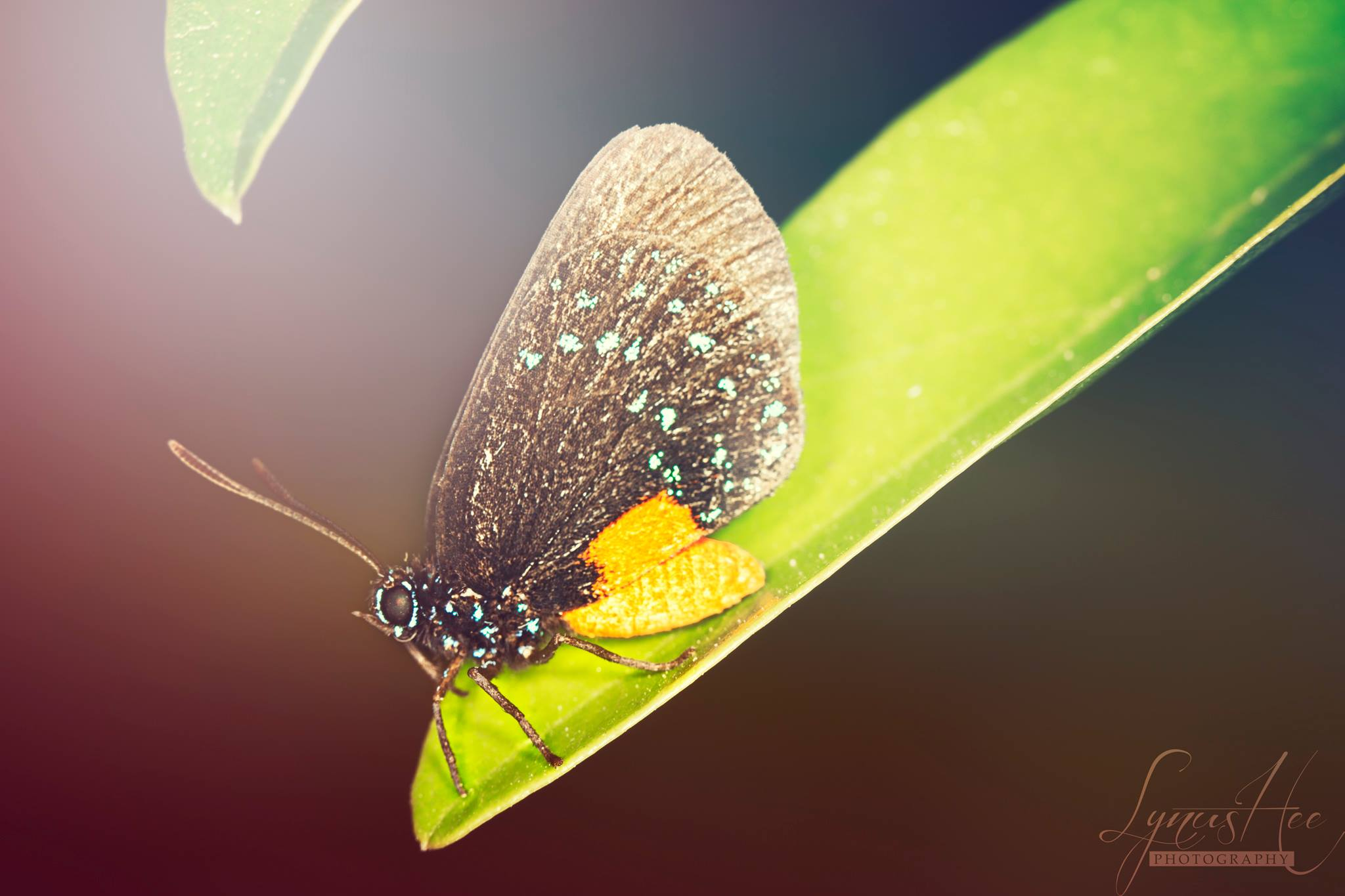 Atala Hairstreak.jpg