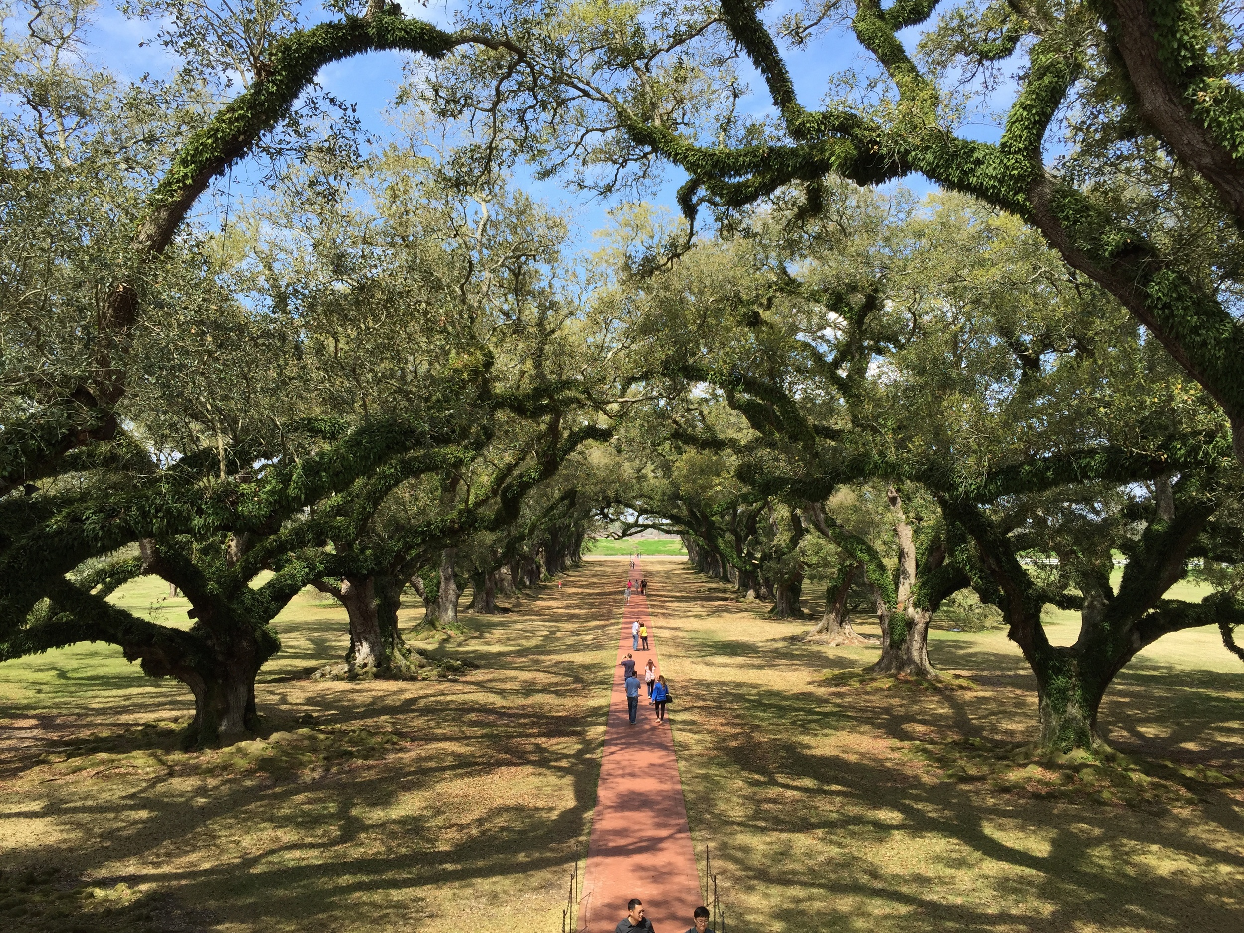 View down the alley of oaks