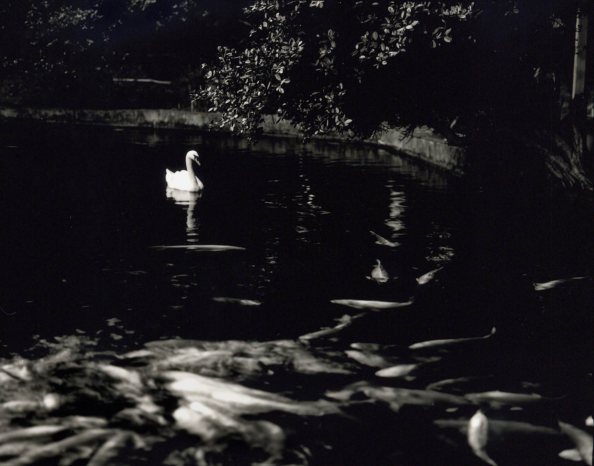 swan & Fishes.jpg