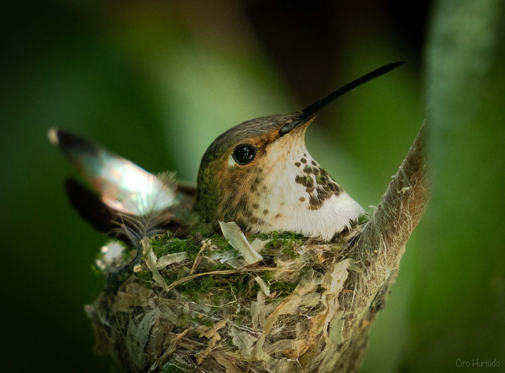 Hummingbird ll-15- v2.jpg