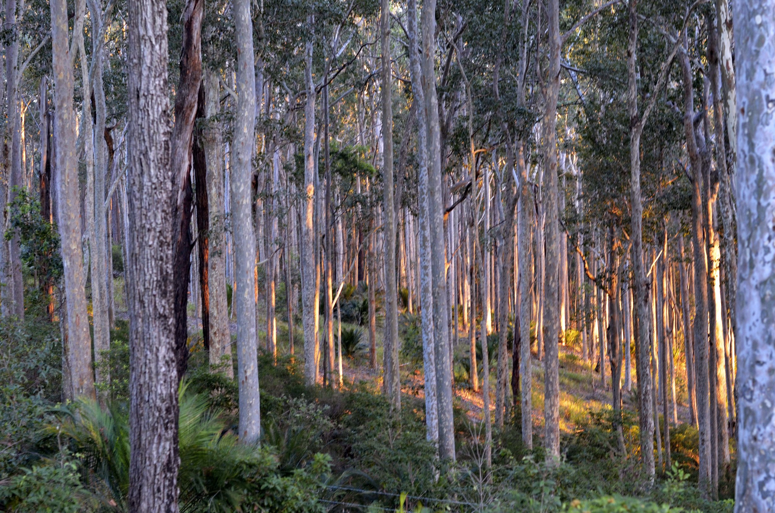 morninglight spotty gums .jpg