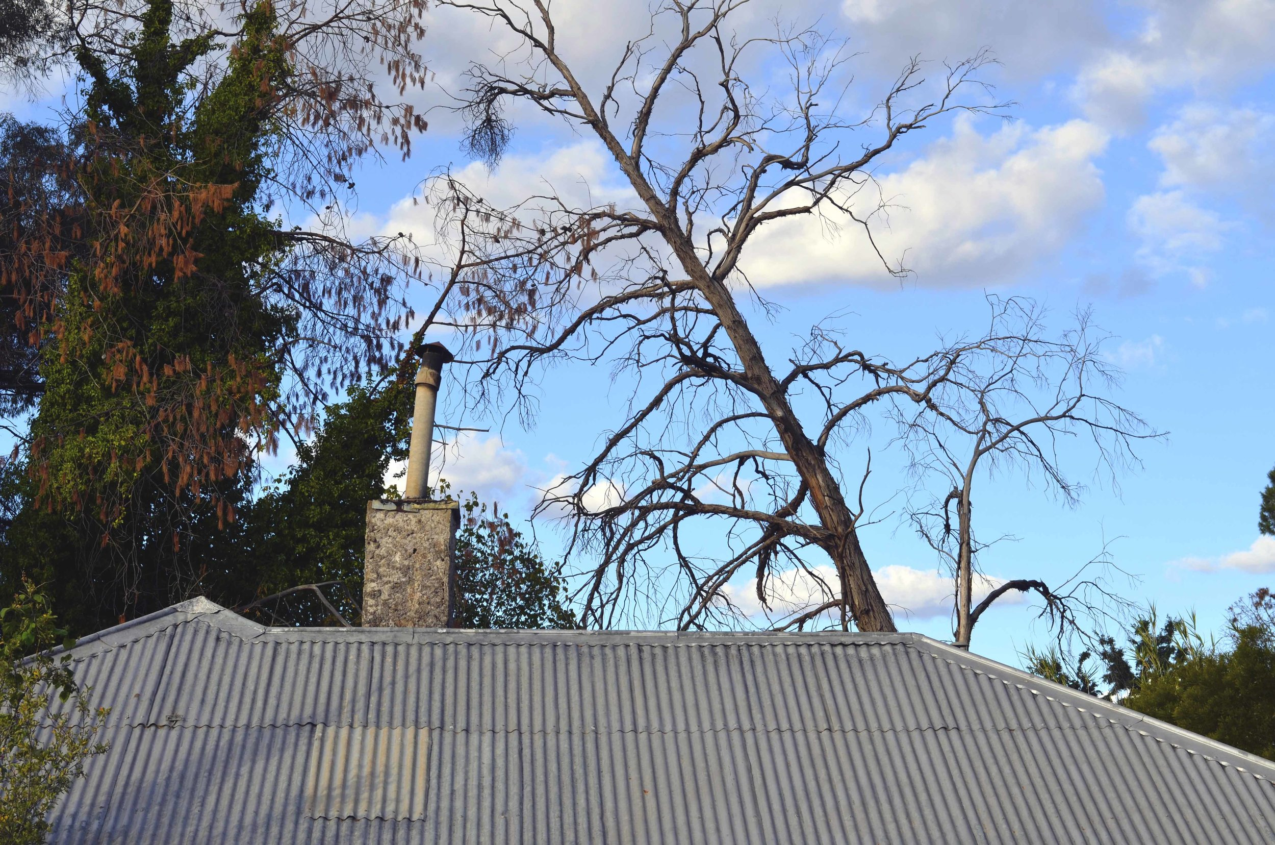 leaning tree of Coona