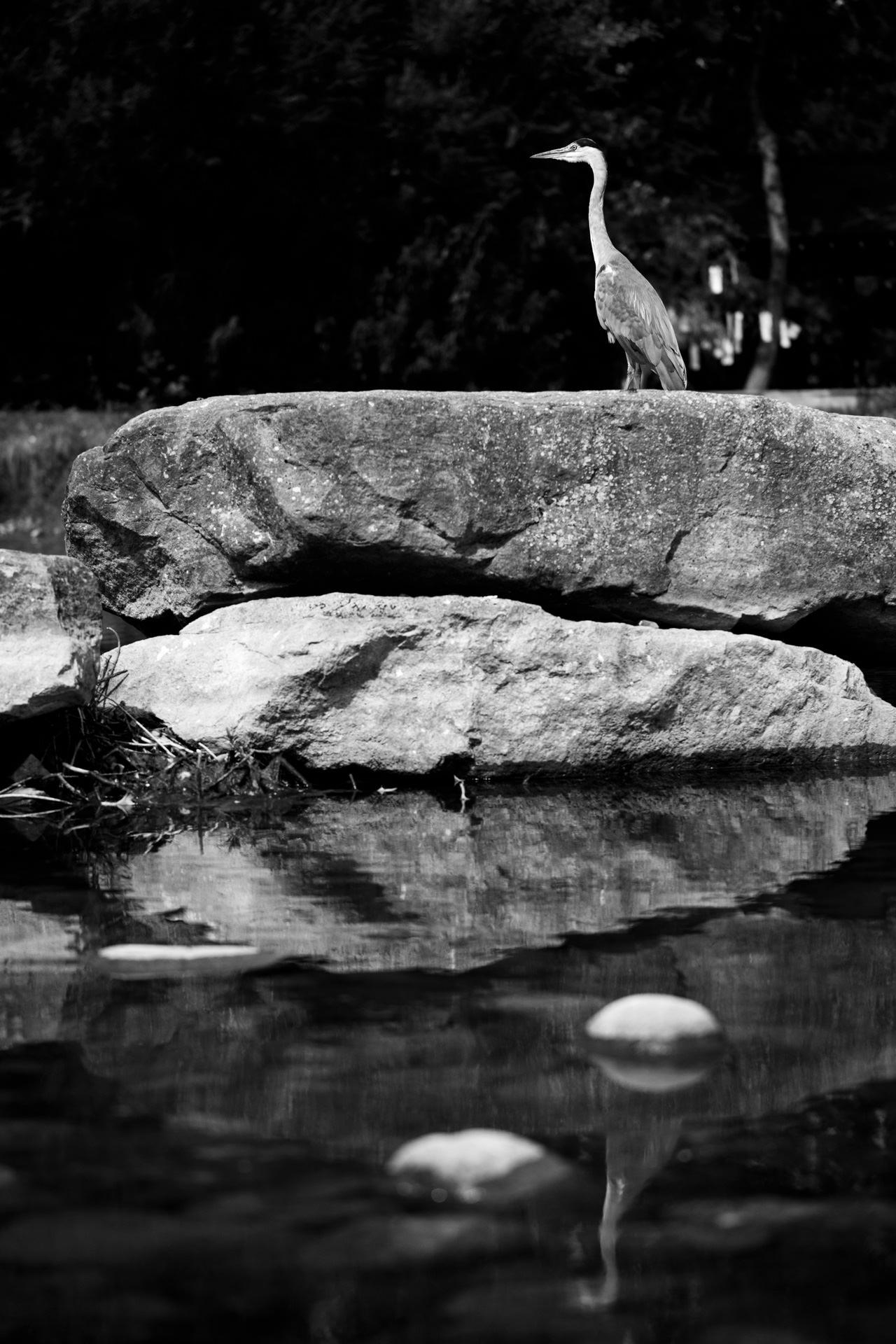 Andrew Wilson Photography Liverpool (10) Festival Gardens Chinese Pond Herron.jpg