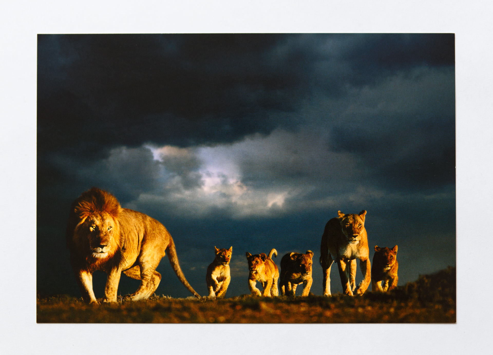 'Lions at dawn' - Masai Mara, Kenya. Steve gave away postcards of this photo of a pack of lions. He said it has been used all around the world and is one his most successful photos.