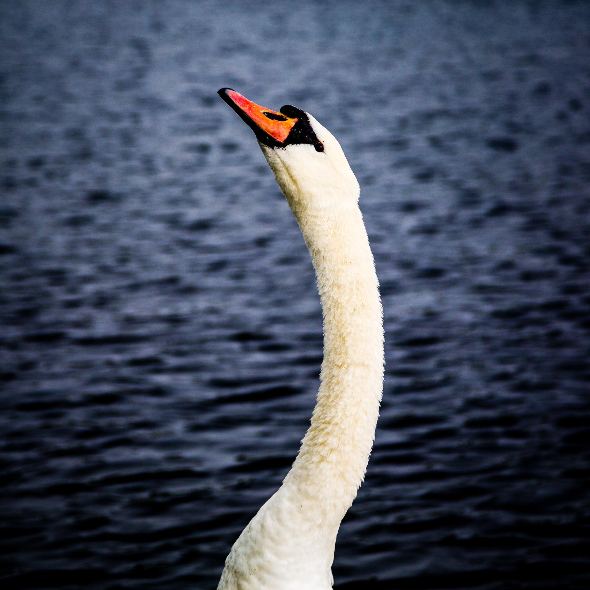 A swan kept a watchful eye on me in Eirias Park, Colwyn Bay.