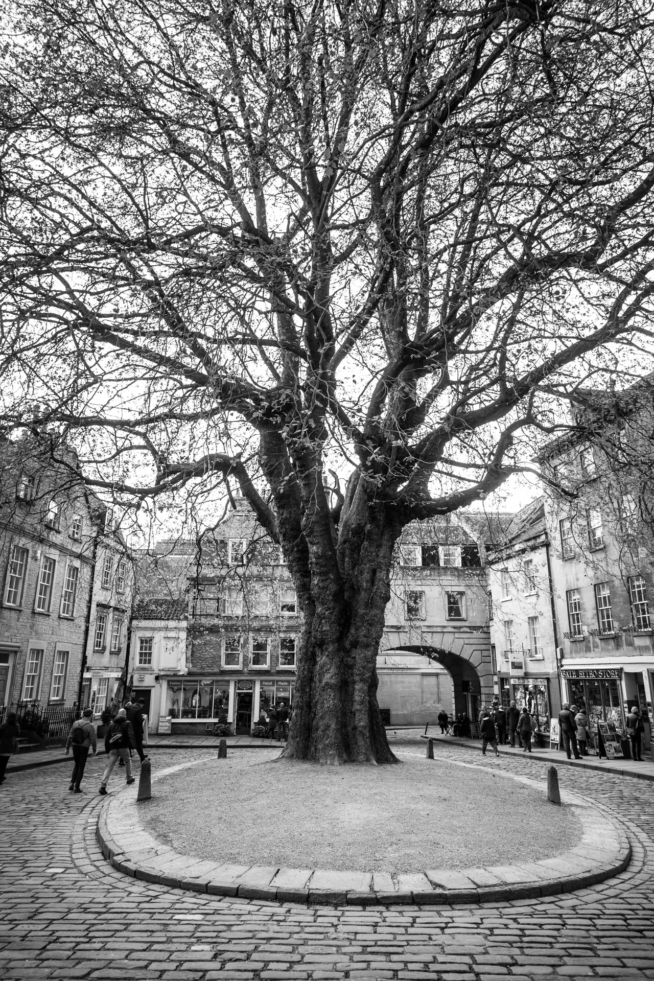 Huge tree in the centre of Abbey Green.