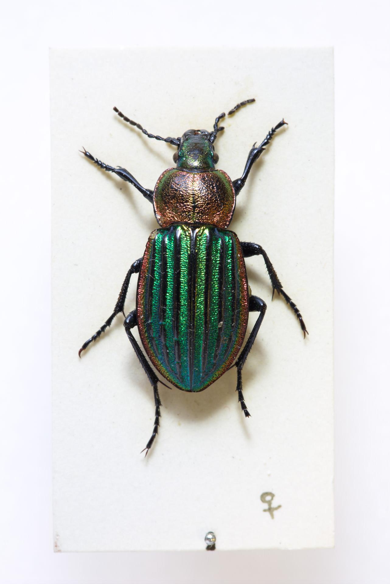 Carabus Nitens beetle.