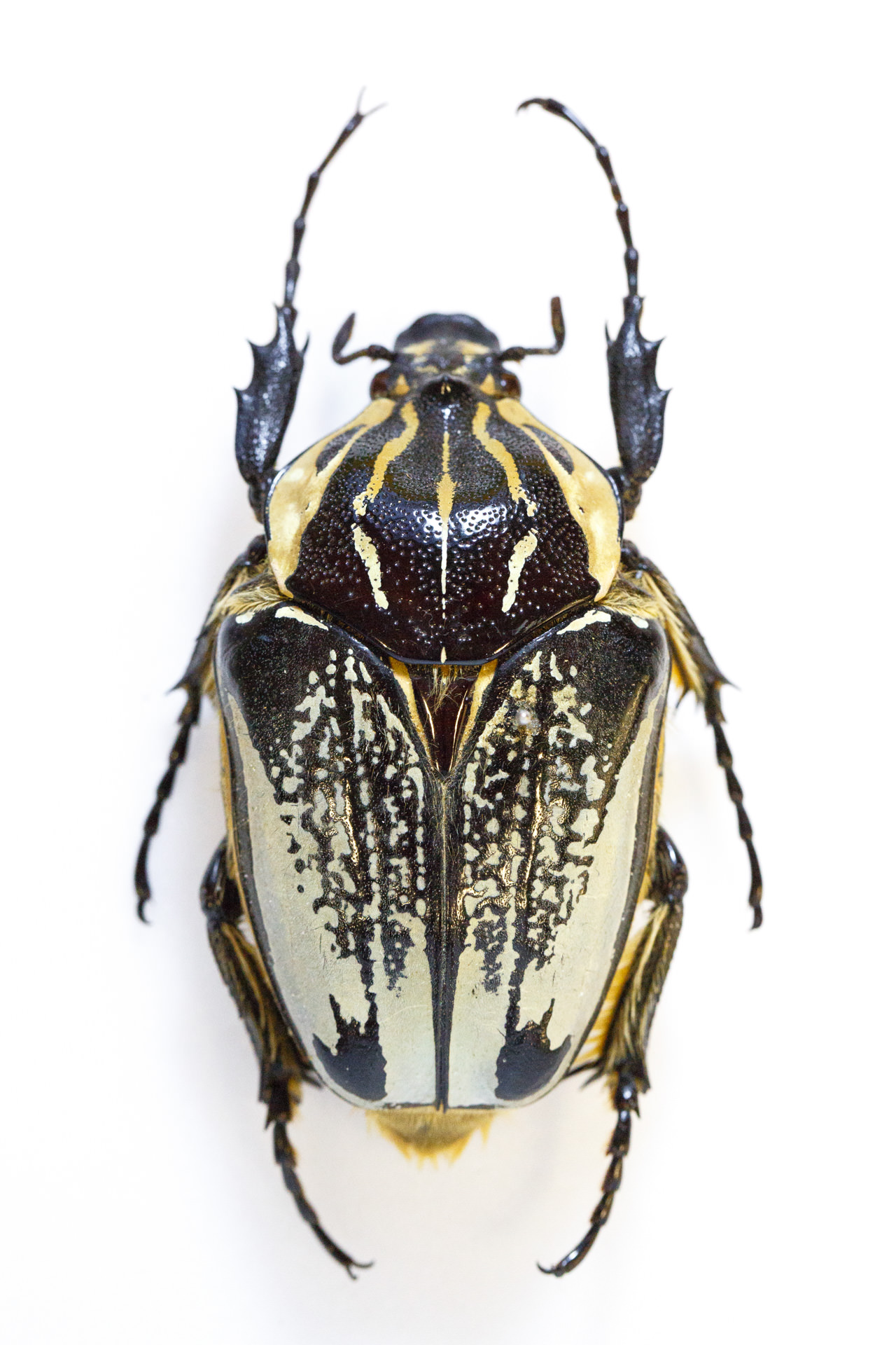 Goliath beetle.