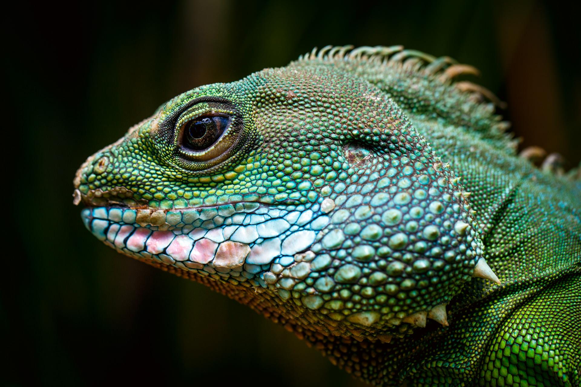 … and stumbled surprisingly across an iguana.
