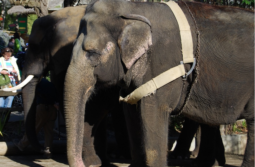 Liz, who was born in the wild in Bhutan, suffers from arthritis and diseased feet from spending too much time on hard surfaces. Despite her condition, Six Flags has been using her to work the logging show and give rides this year.