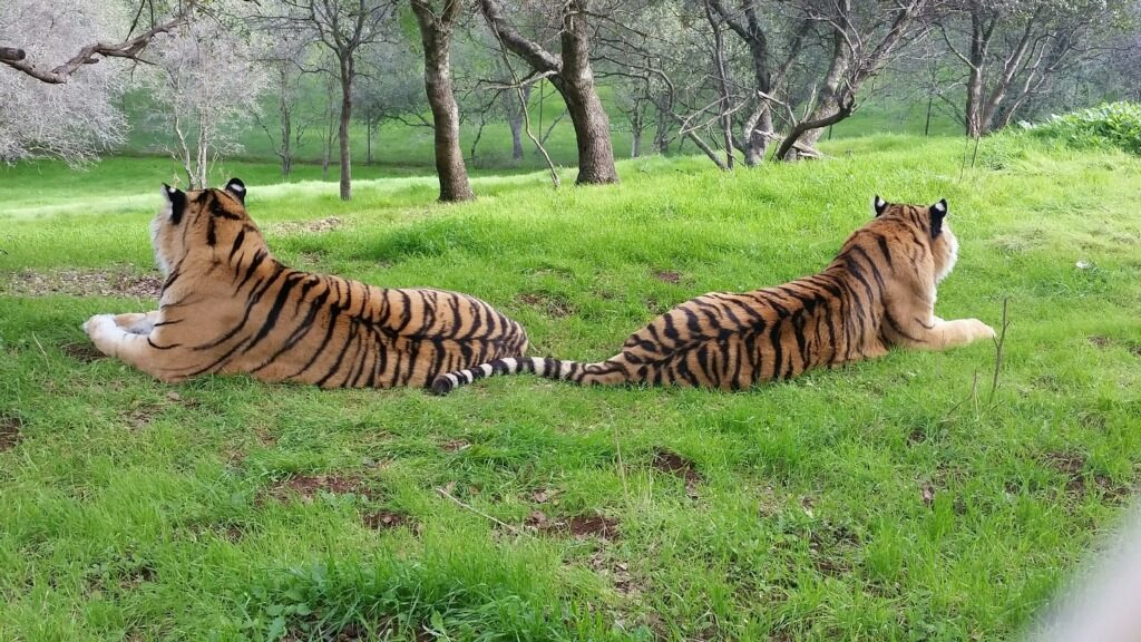 Tigers lounging at the Performing Animal Welfare Society (PAWS) in San Andreas, CA