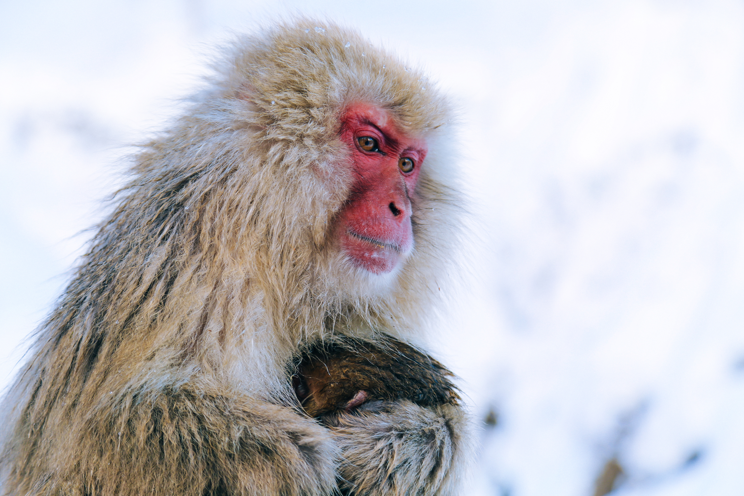 Snow Monkey & baby at Jigokudani Park - Eric Bravo Photography