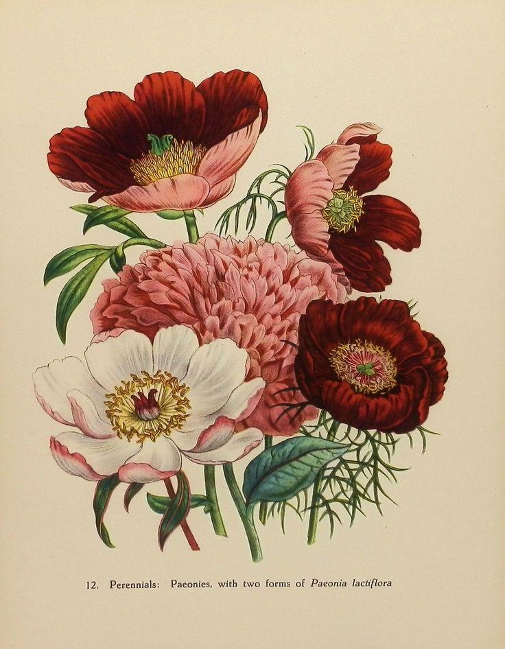 victorian botanical drawings - Google Search.jpeg