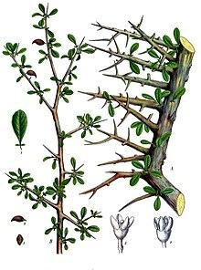 220px-Commiphora_myrrha_-_Köhler–s_Medizinal-Pflanzen-019.jpg