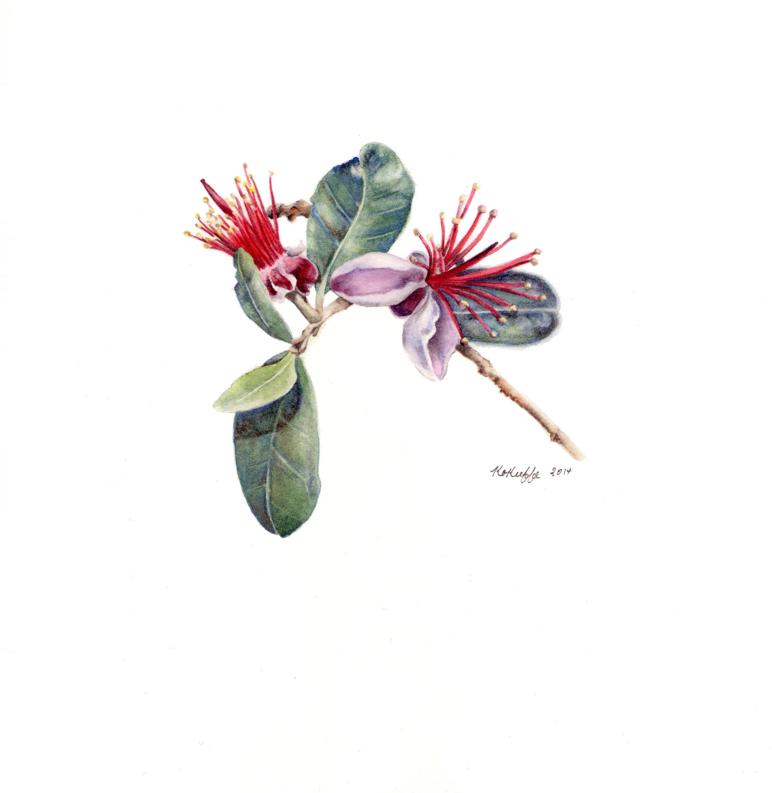 Acca sellowiana