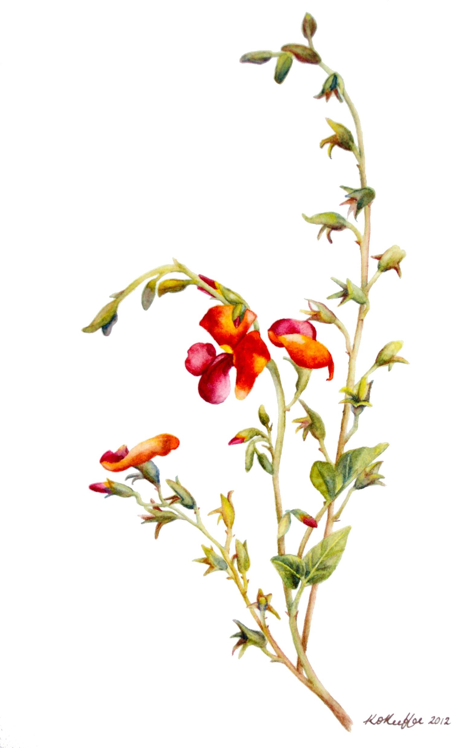 Chorizema cordatum