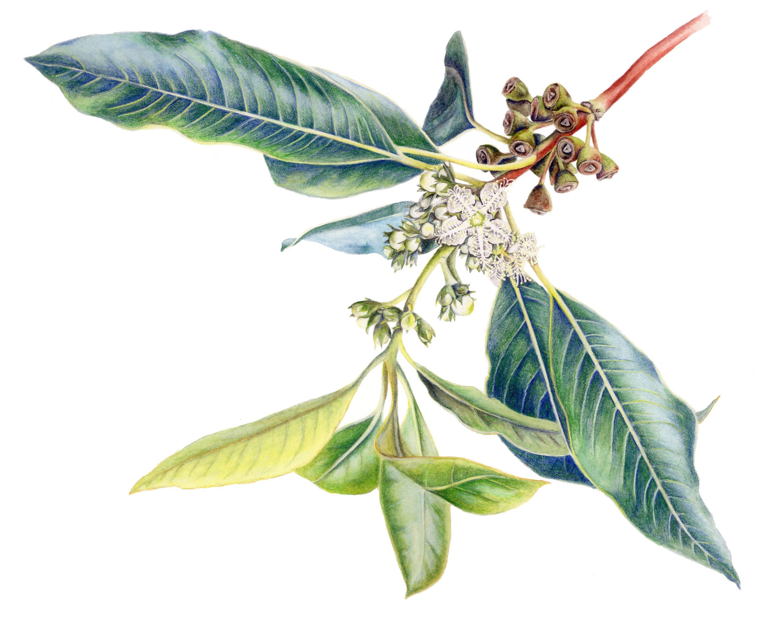 Lophostemon confertus