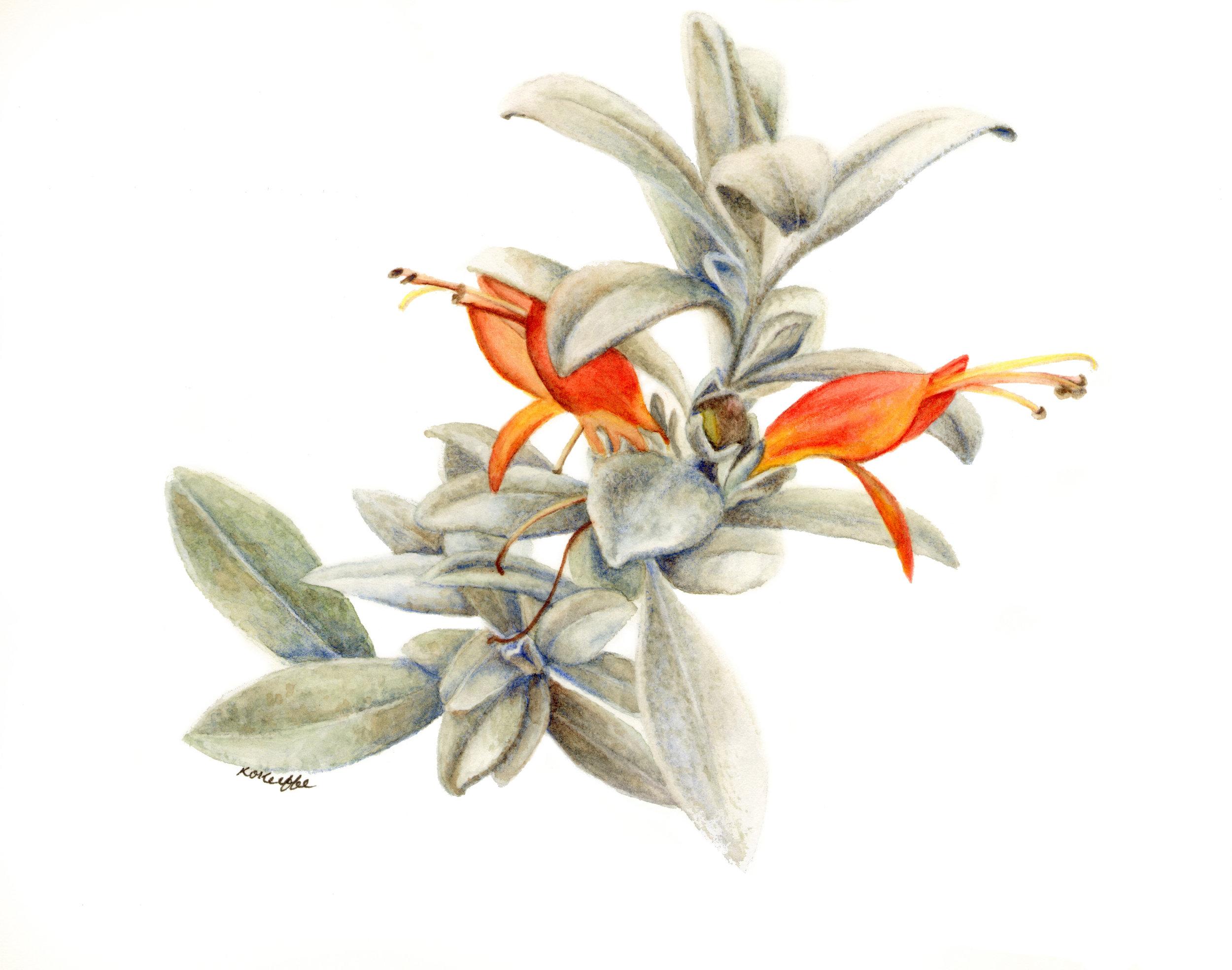 Eremophila glabra, Tar bush