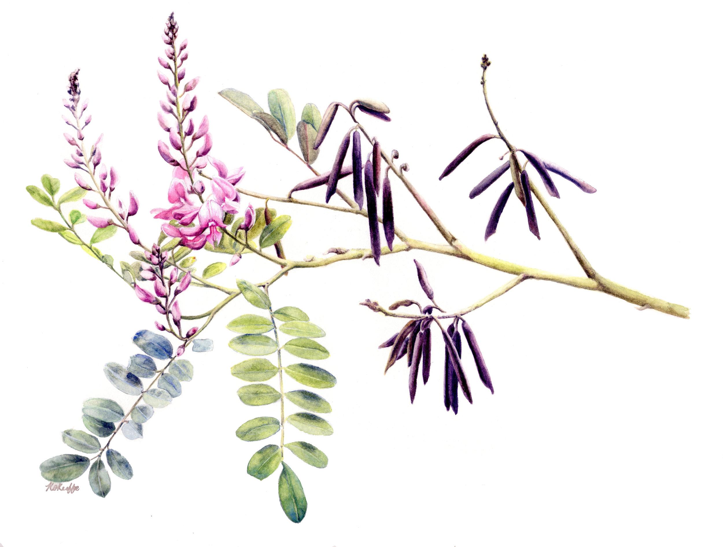 Indigofera australis