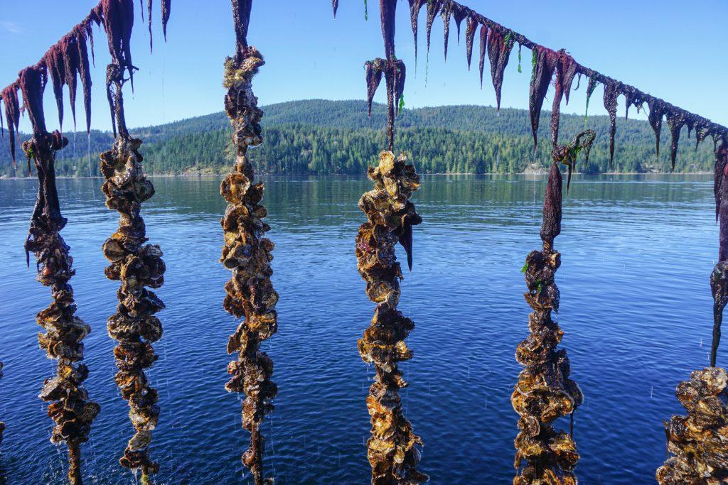 Oyster_Farm_Credit_Fanny_Bay_Oysters-1024x683.jpg