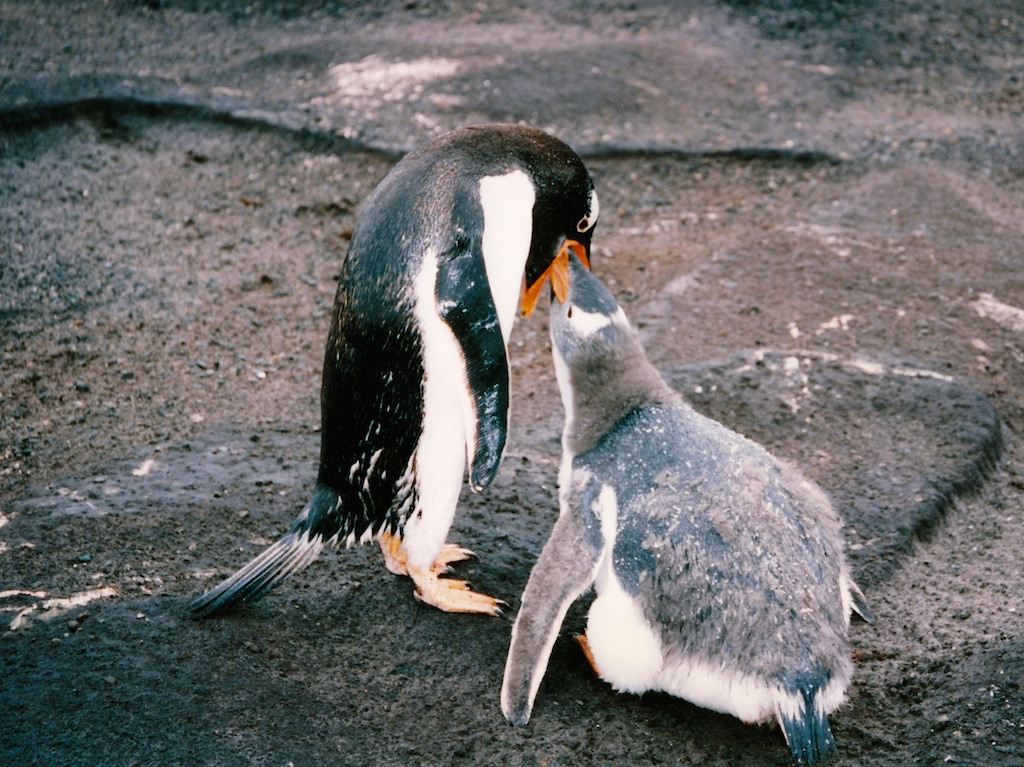 Hungry penguin chick