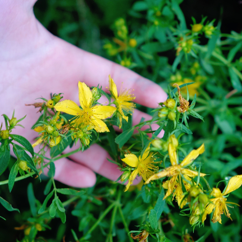 Making Home Remedies with Fresh St  John's Wort — Eclectic