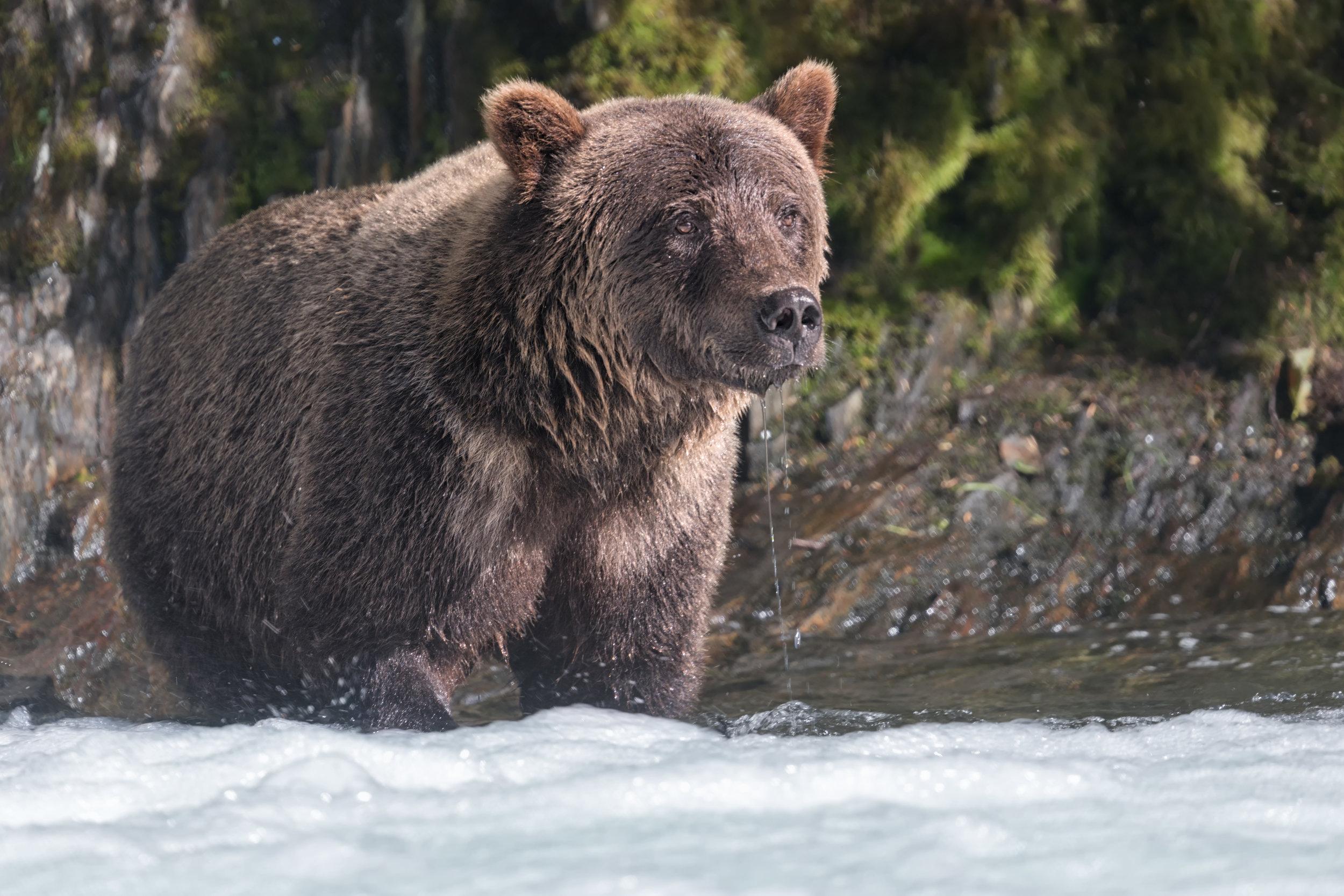 Brown-Bear-2192.jpg