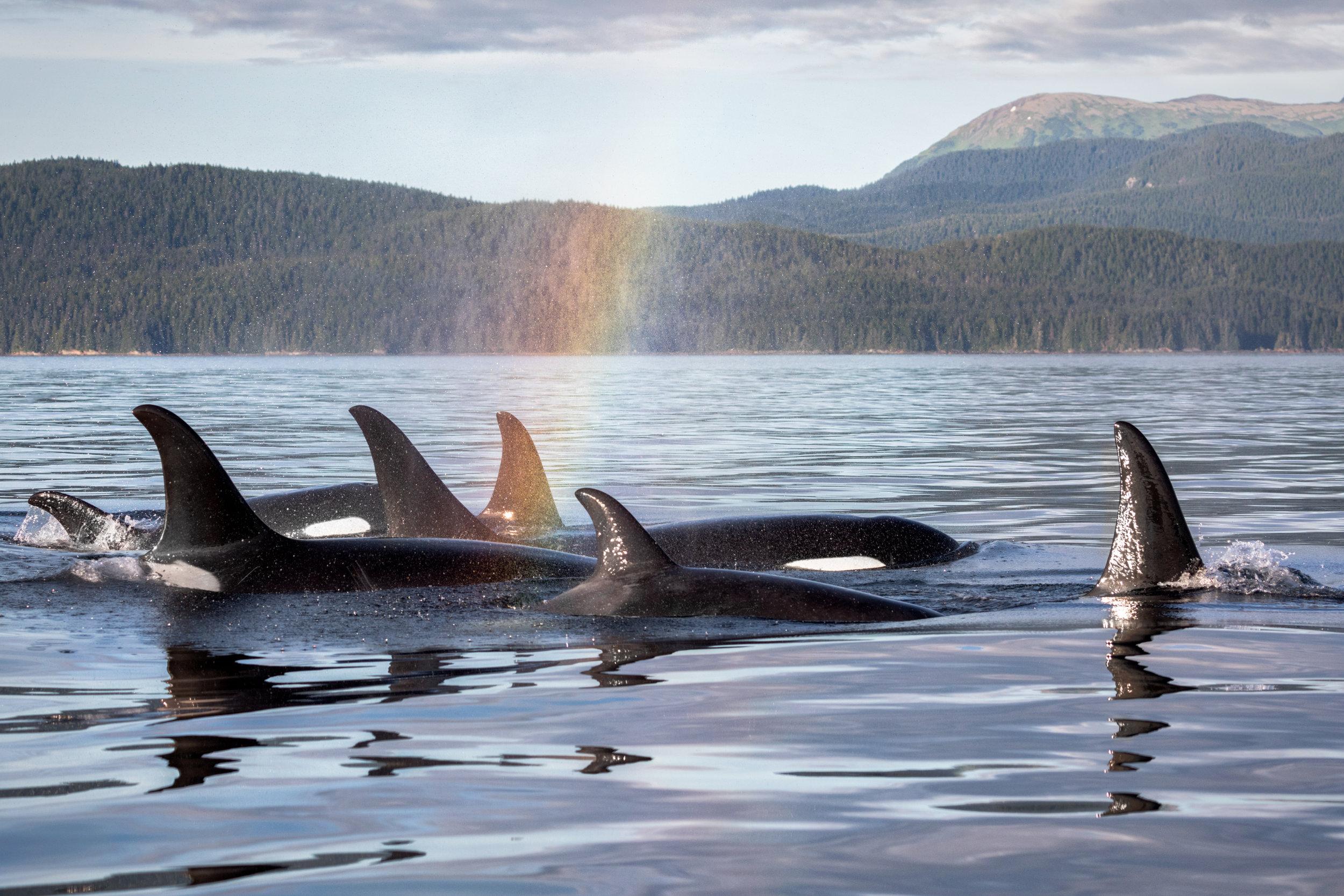 Orca-Rainbow.jpg