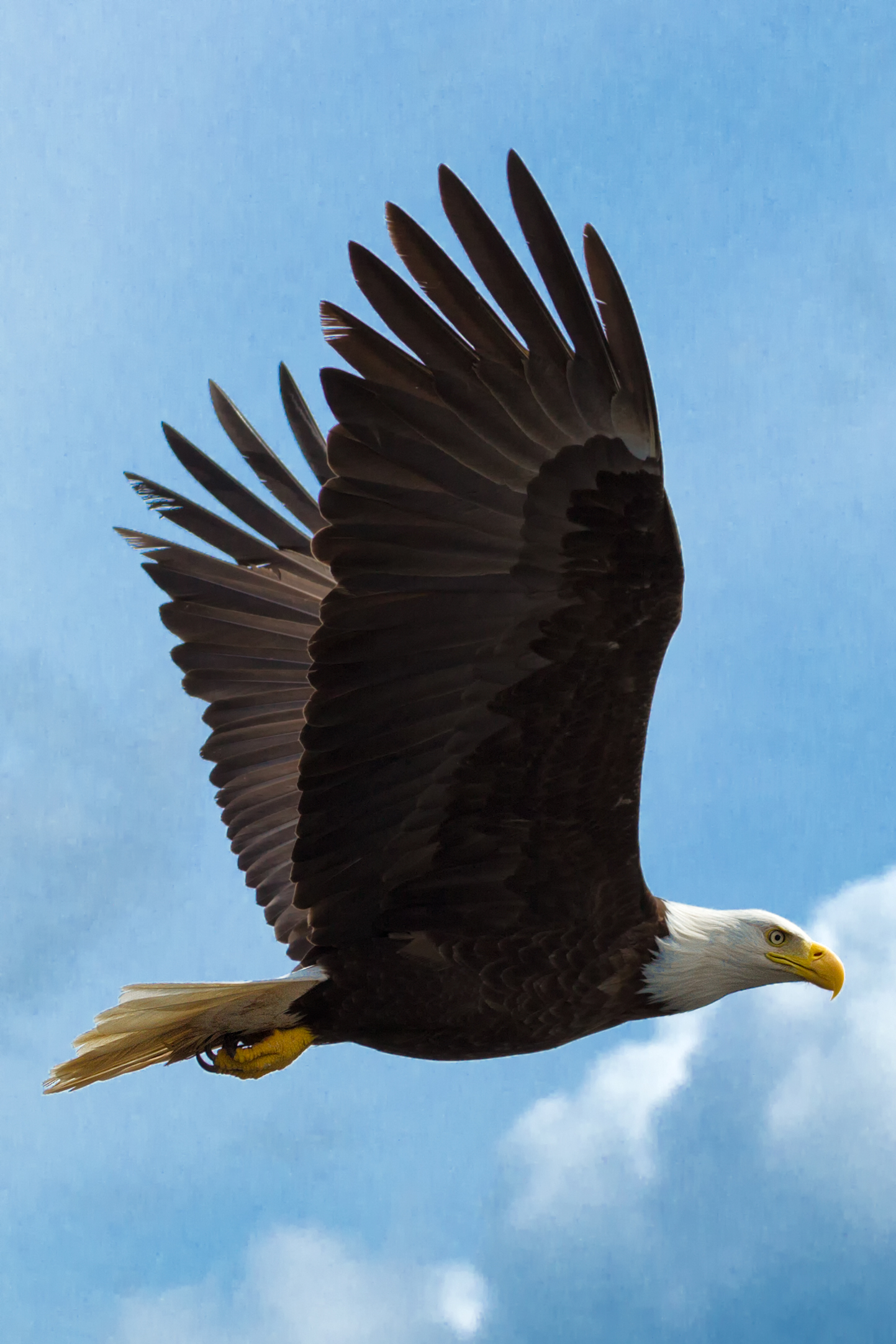 Bald-Ealge-Blue-Flight.jpg
