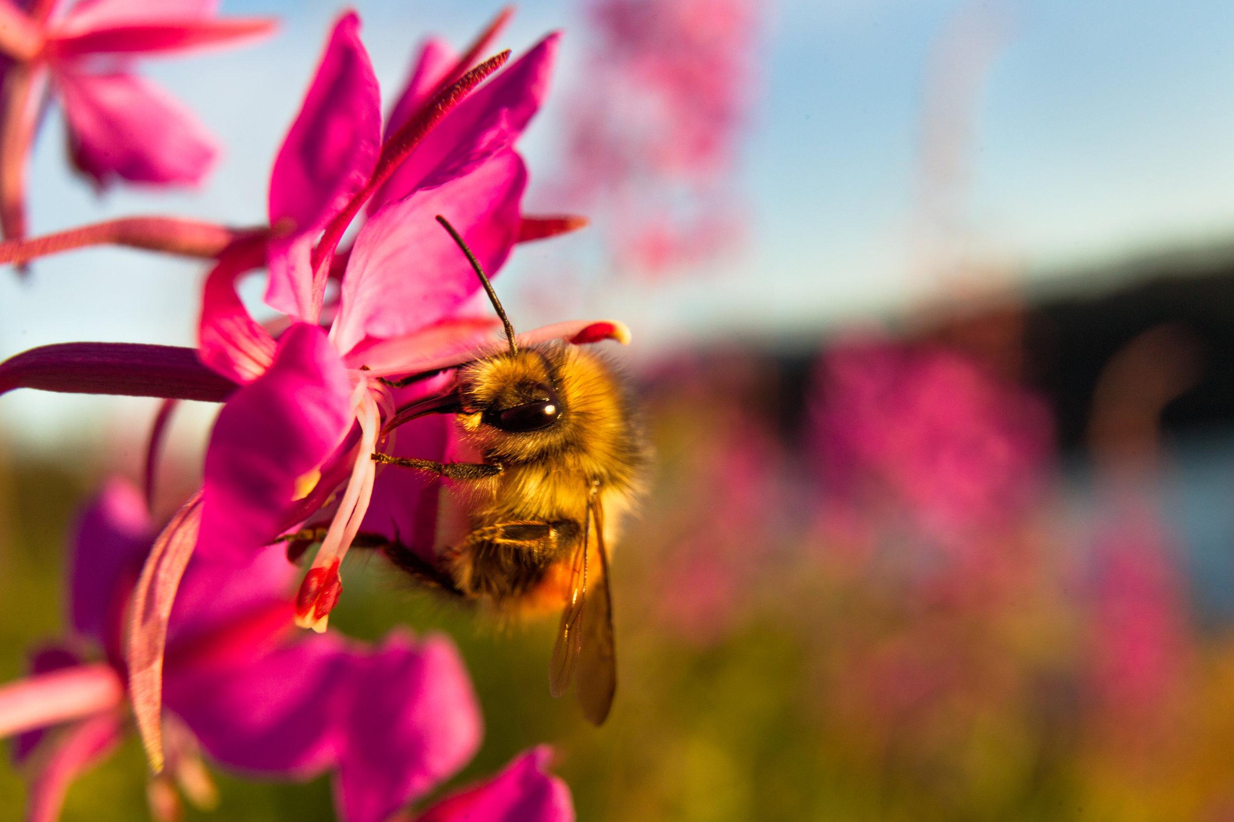 Bee-Fireweed.jpg