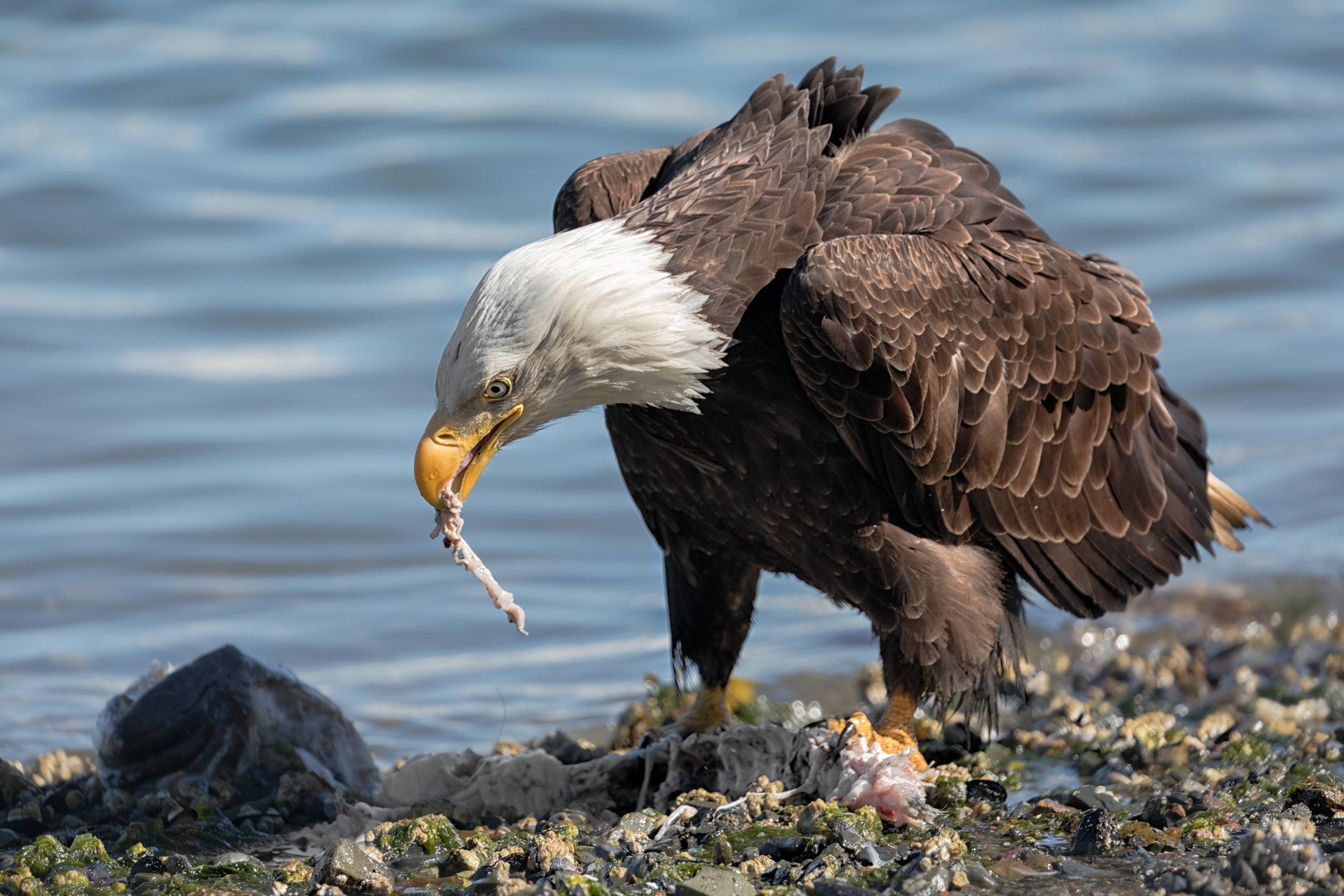 Eagle-Eating-2730.jpg