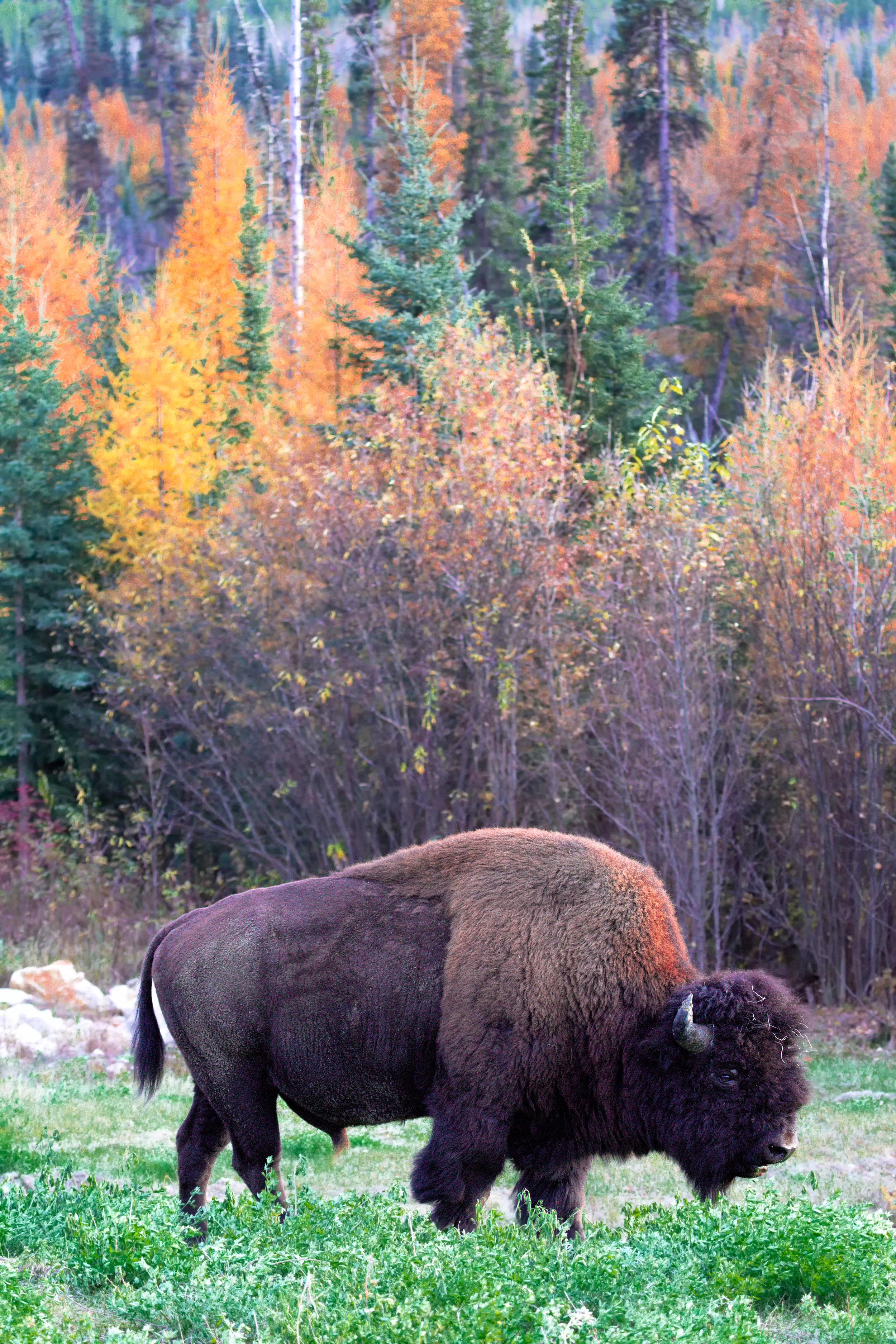 Bison-Autumn-Trees.jpg