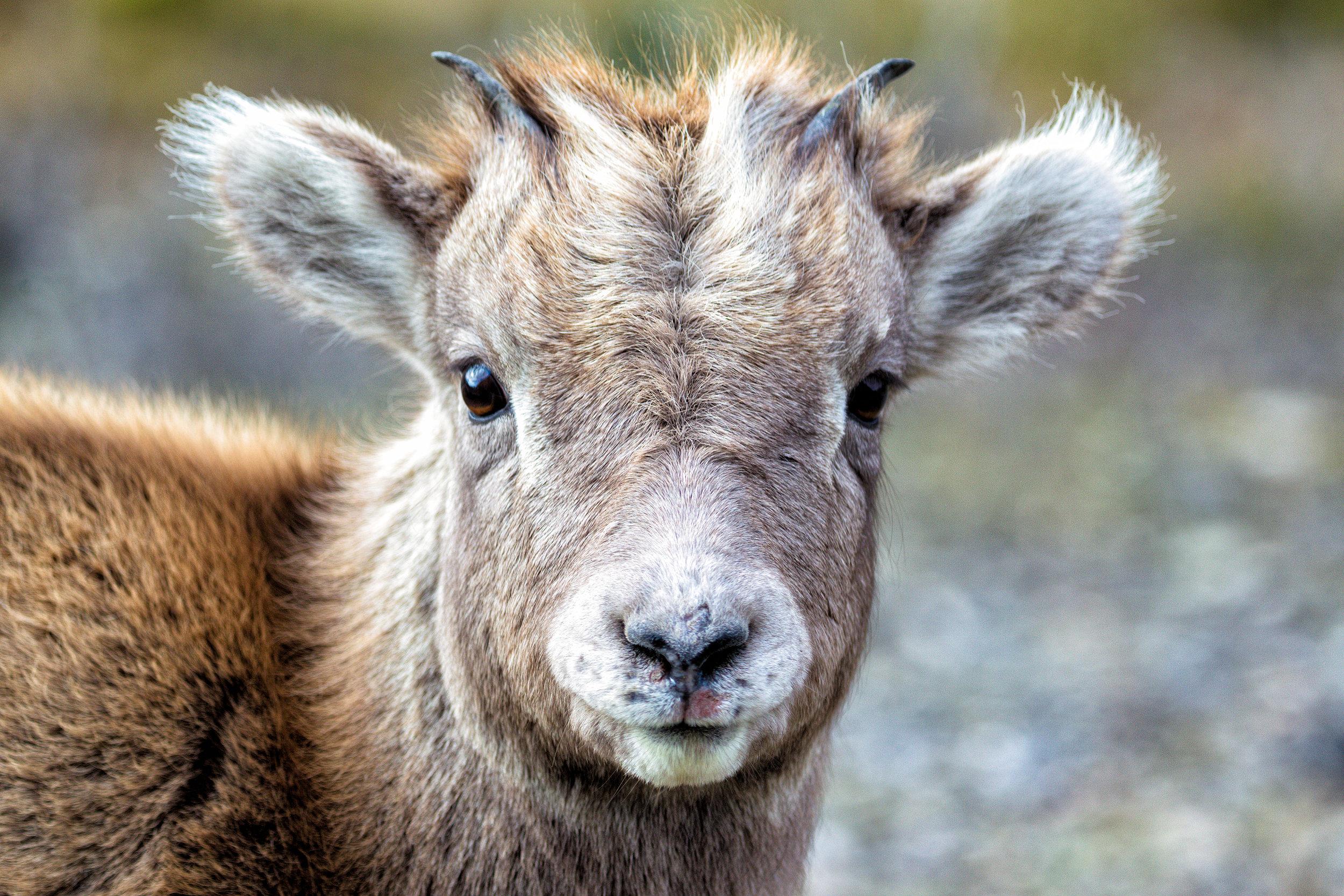 Baby-Goat-Face.jpg
