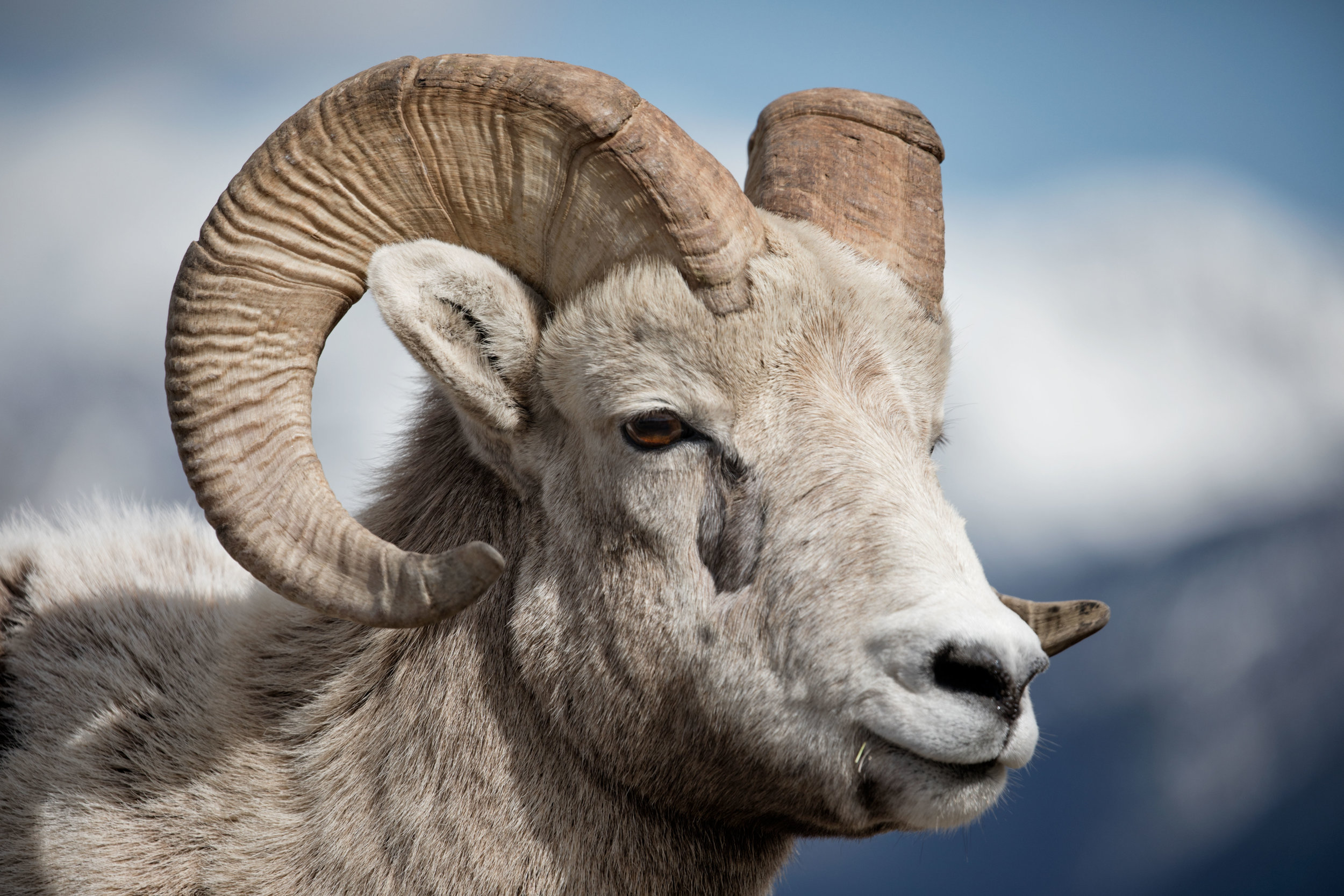 Big-Horn-Sheep-5.jpg