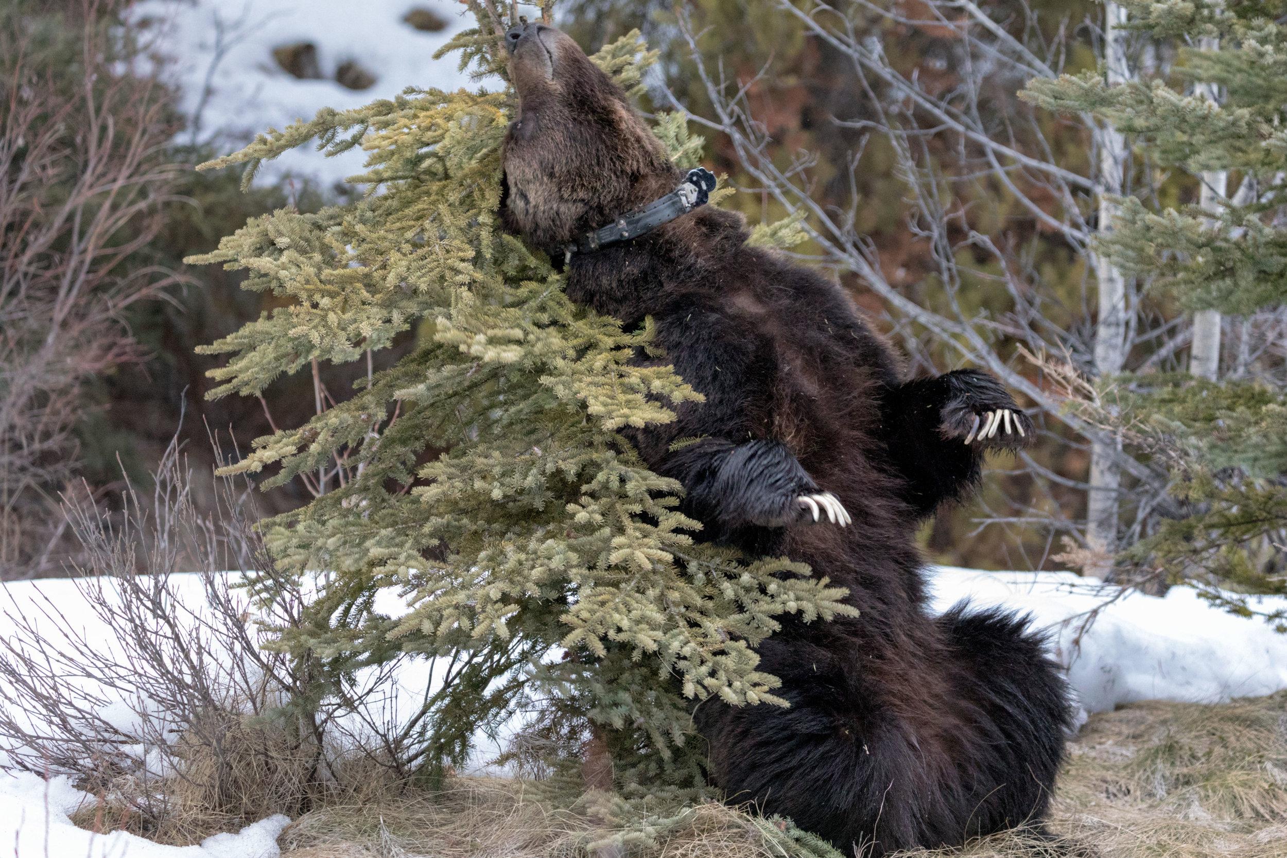 Brown-Bear-in-Jasper-2.jpg