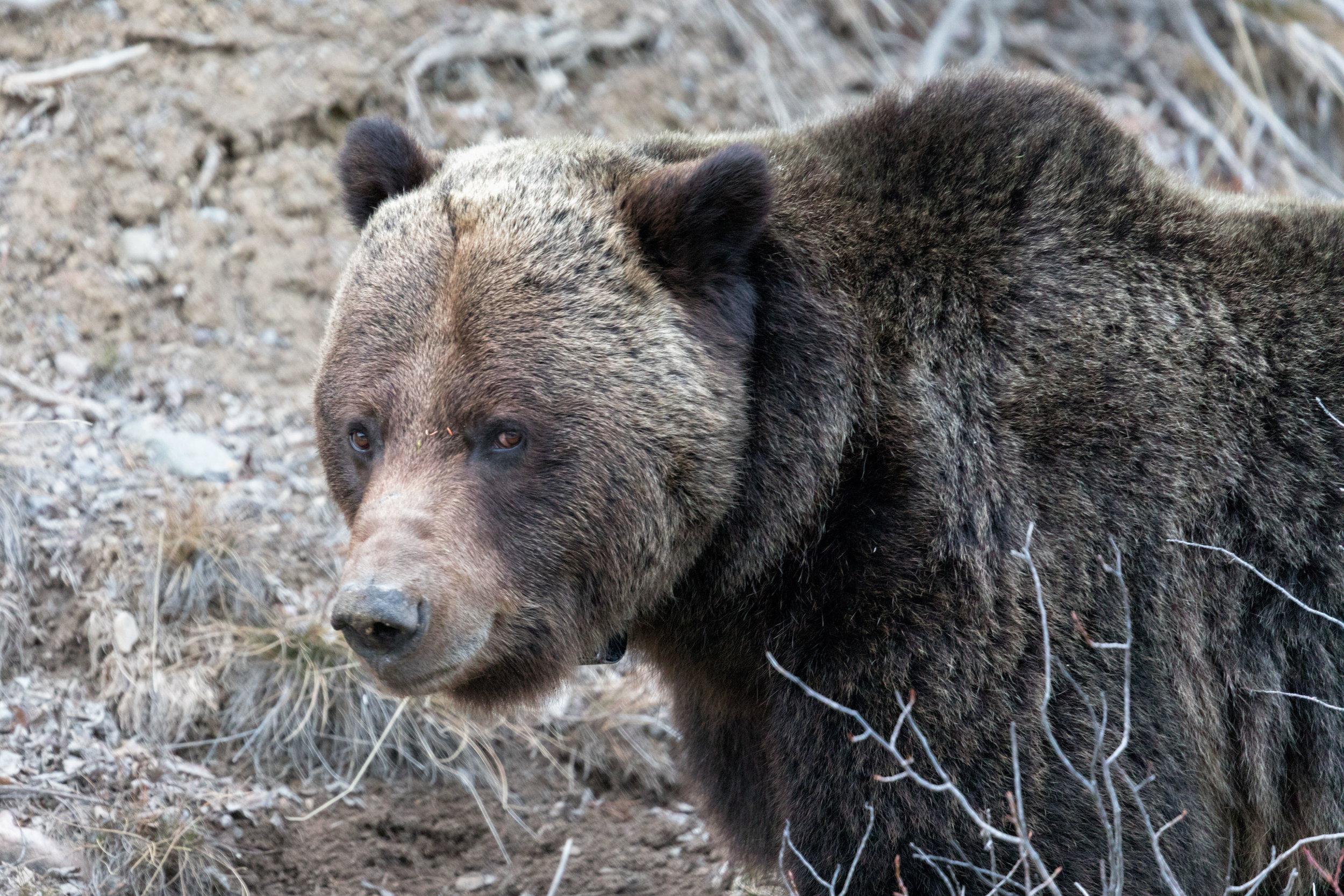 Brown-Bear-in-Jasper-4.jpg