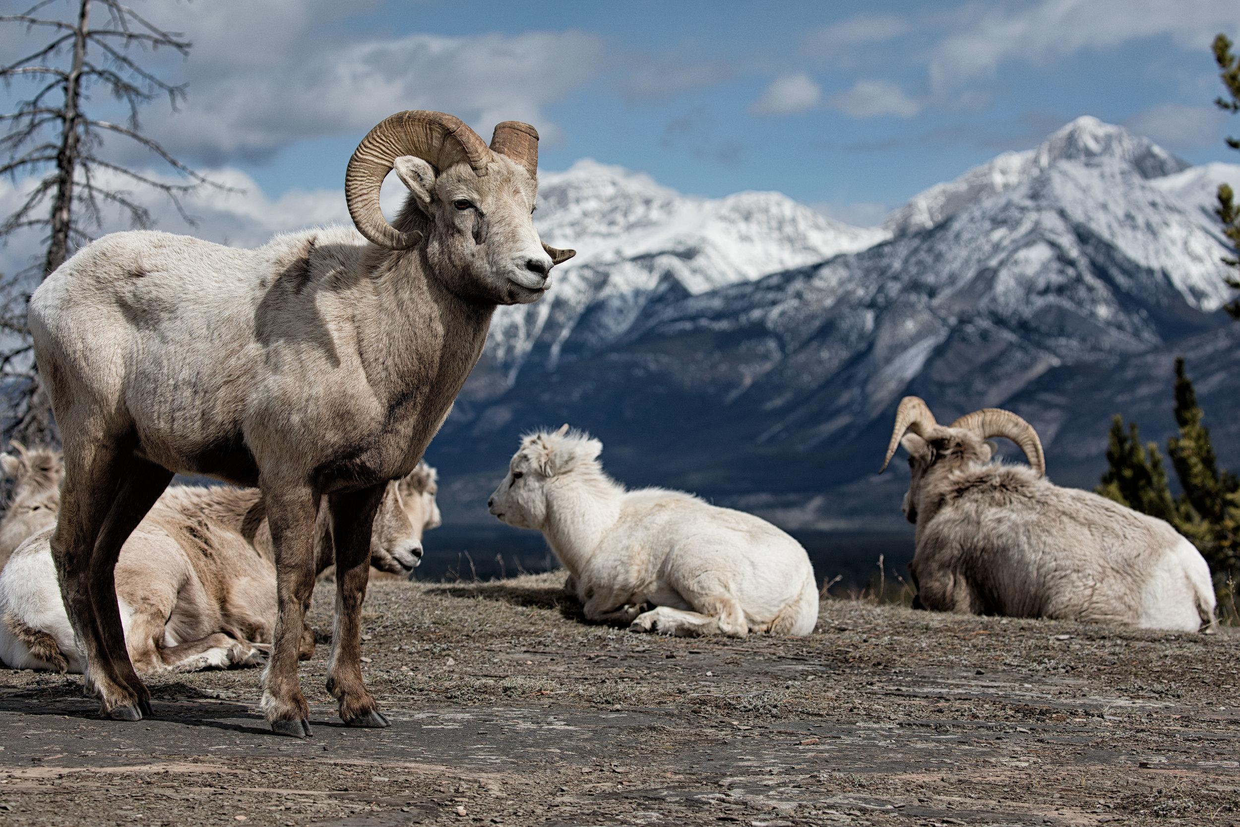 Big-Horn-Sheep-4.jpg