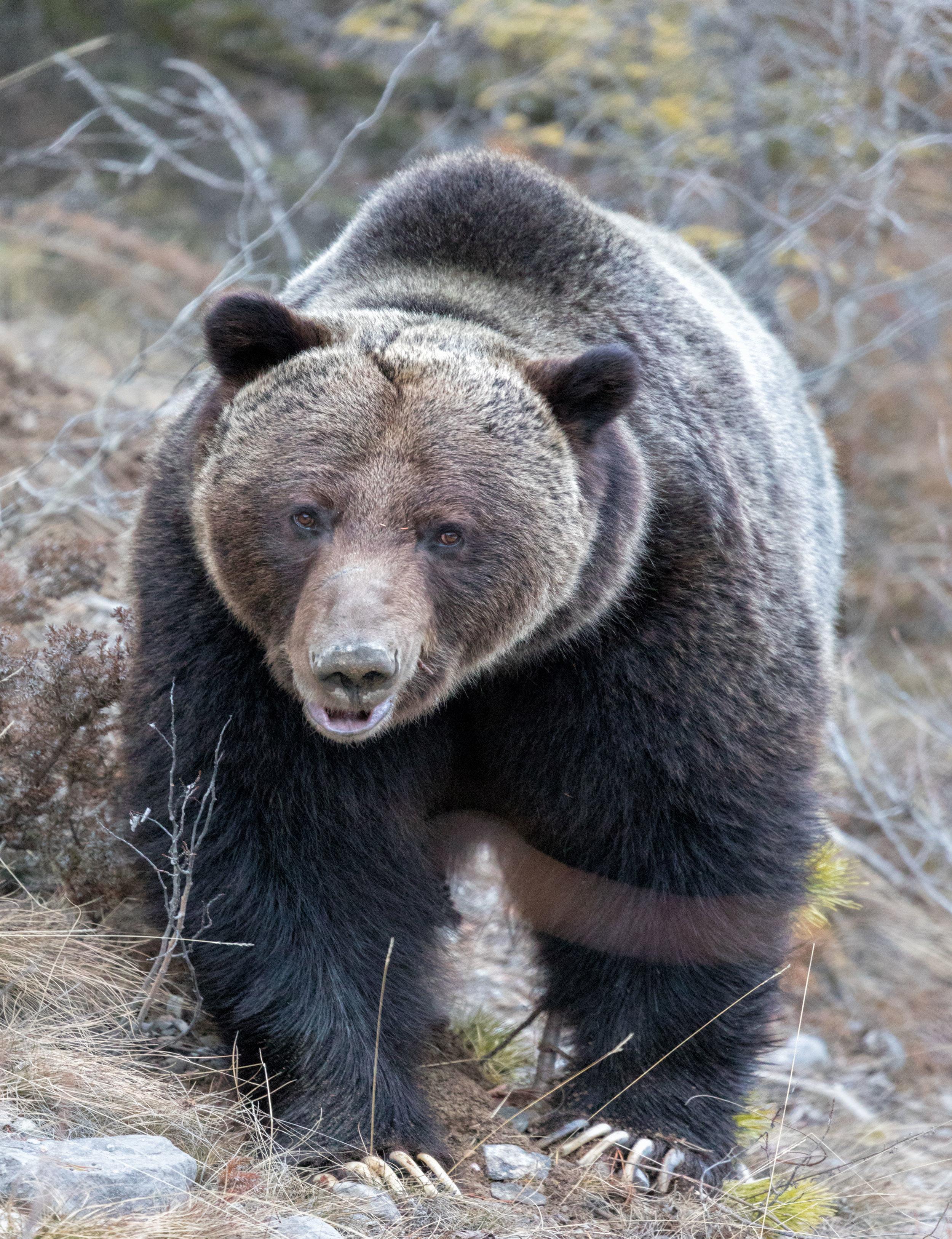 Brown-Bear-in-Jasper-7.jpg