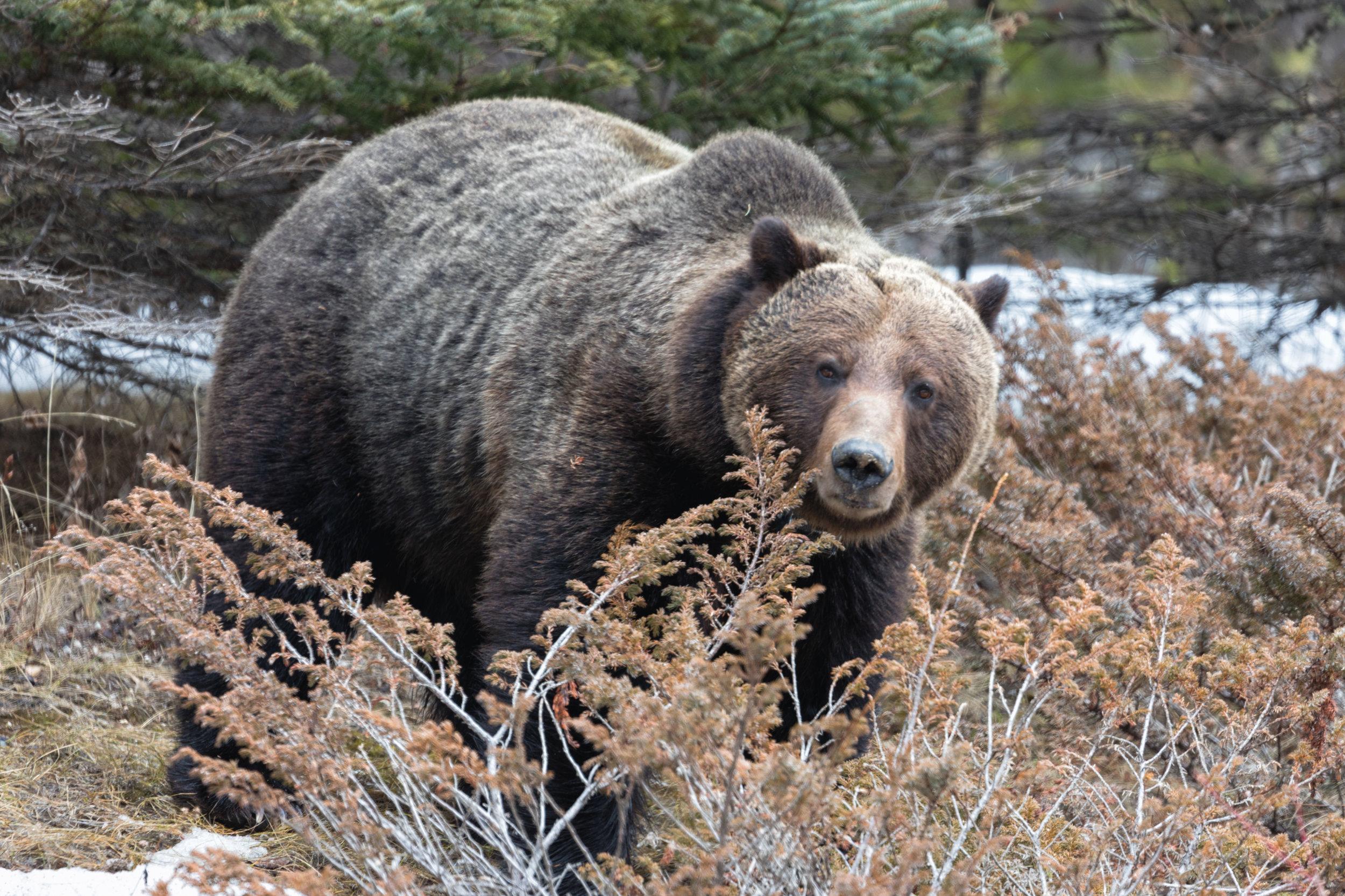 Brown-Bear-in-Jasper-10.jpg