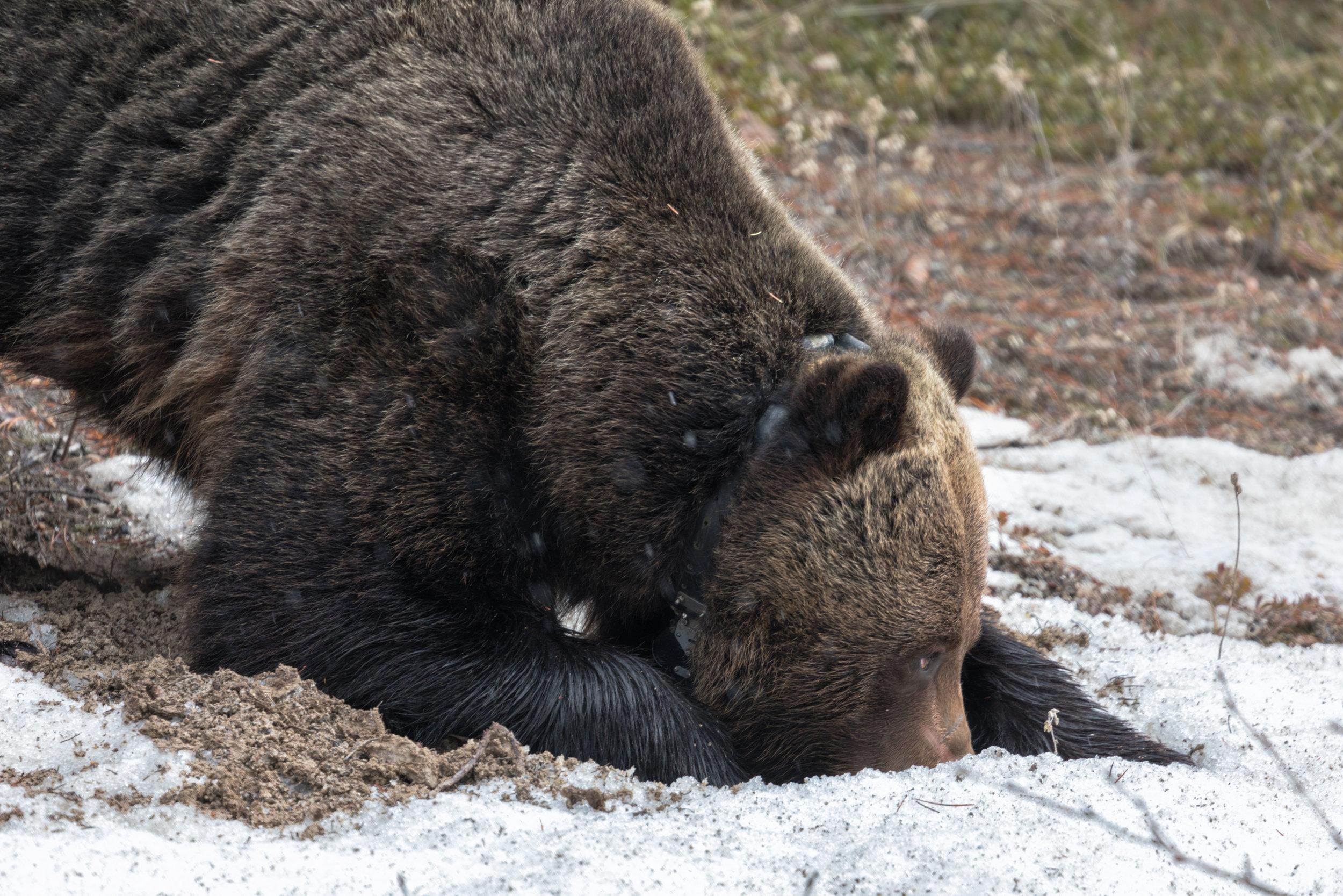 Brown-Bear-in-Jasper-8.jpg