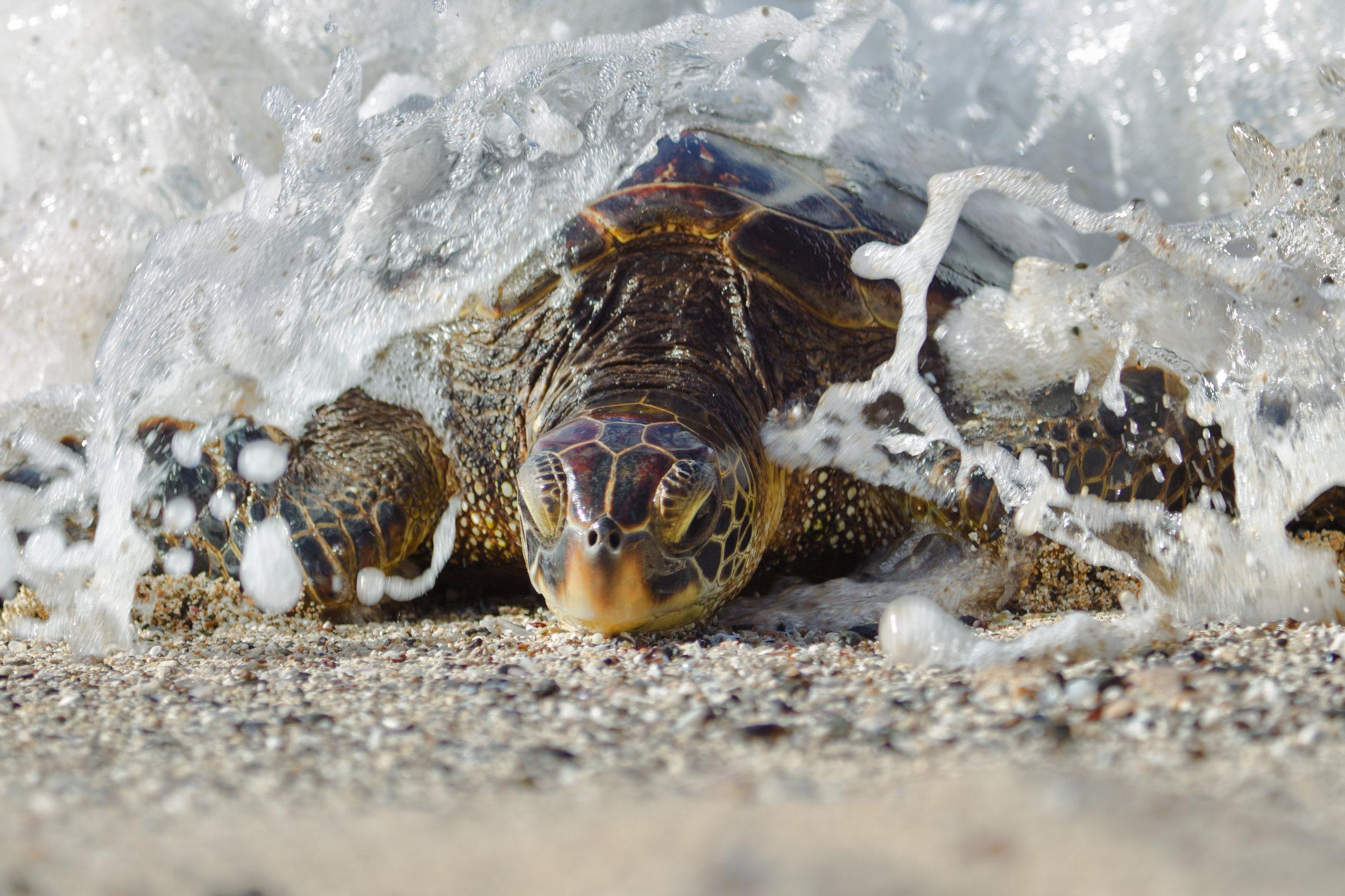 Wave-Crash-Turtle-2.jpg