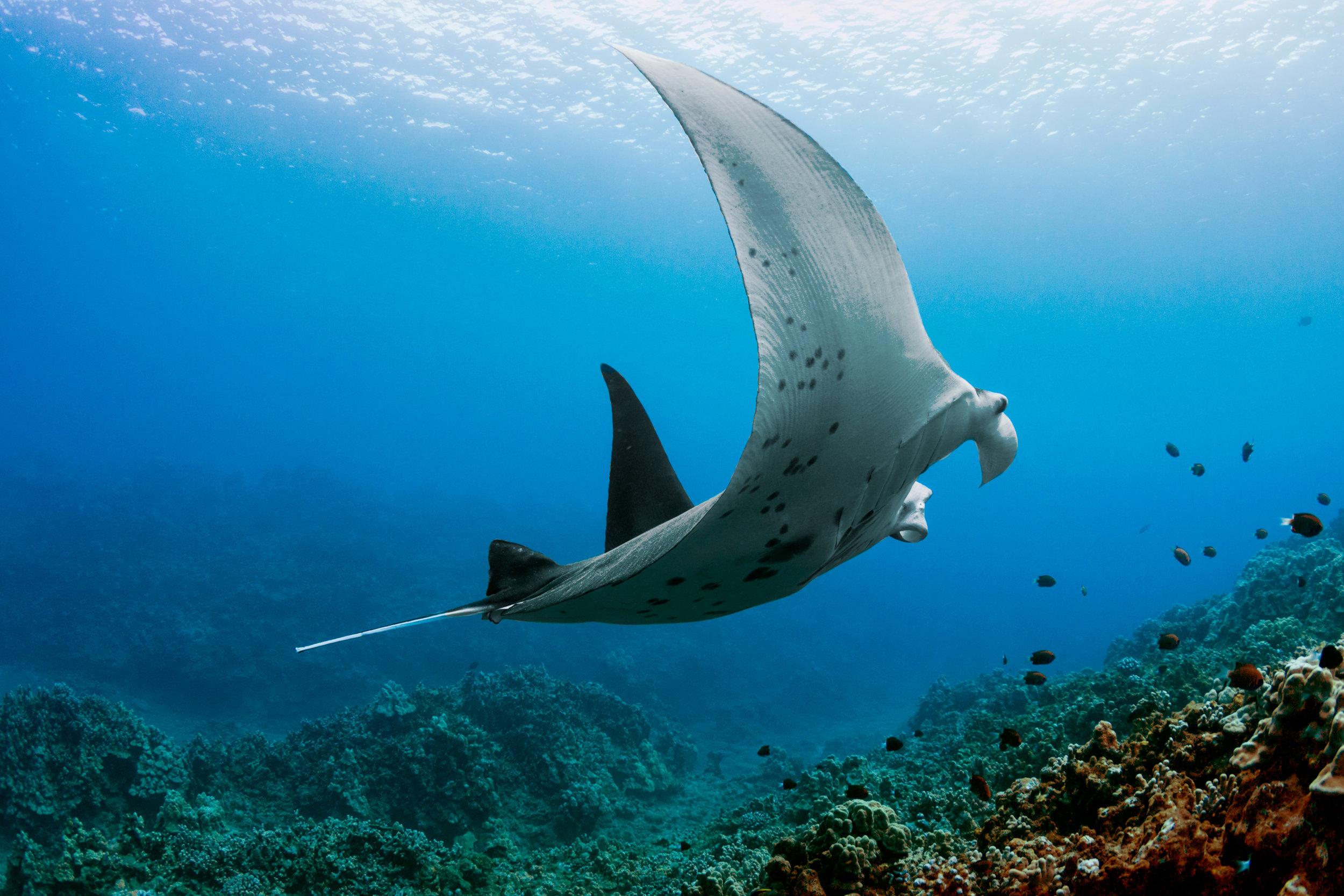 Manta-Coral-Under-Profile.jpg