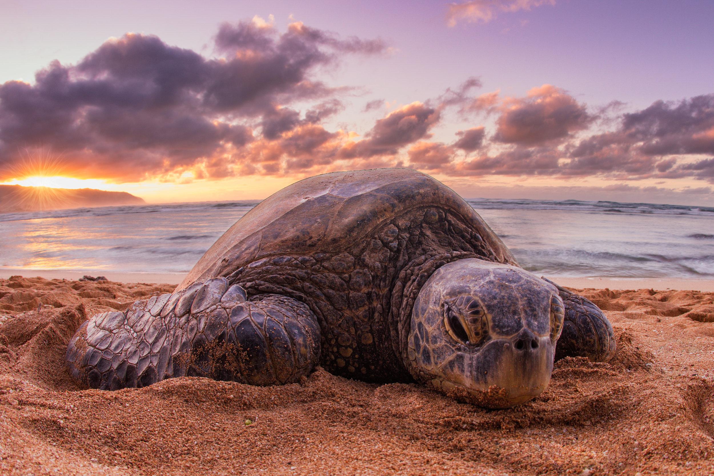 Sea-Turtle-Beached-Sunset-SM.jpg