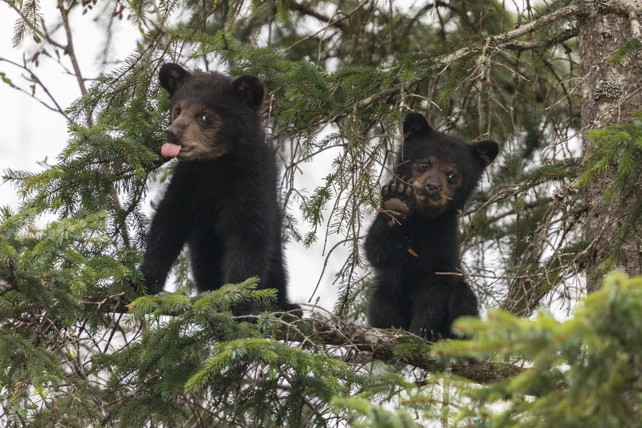 Black-Bear-1943.jpg